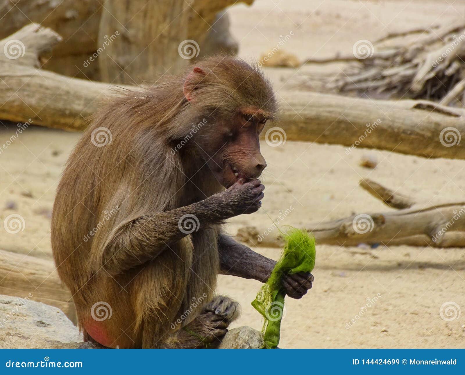 猴子在动物园里吃海草在奥格斯堡