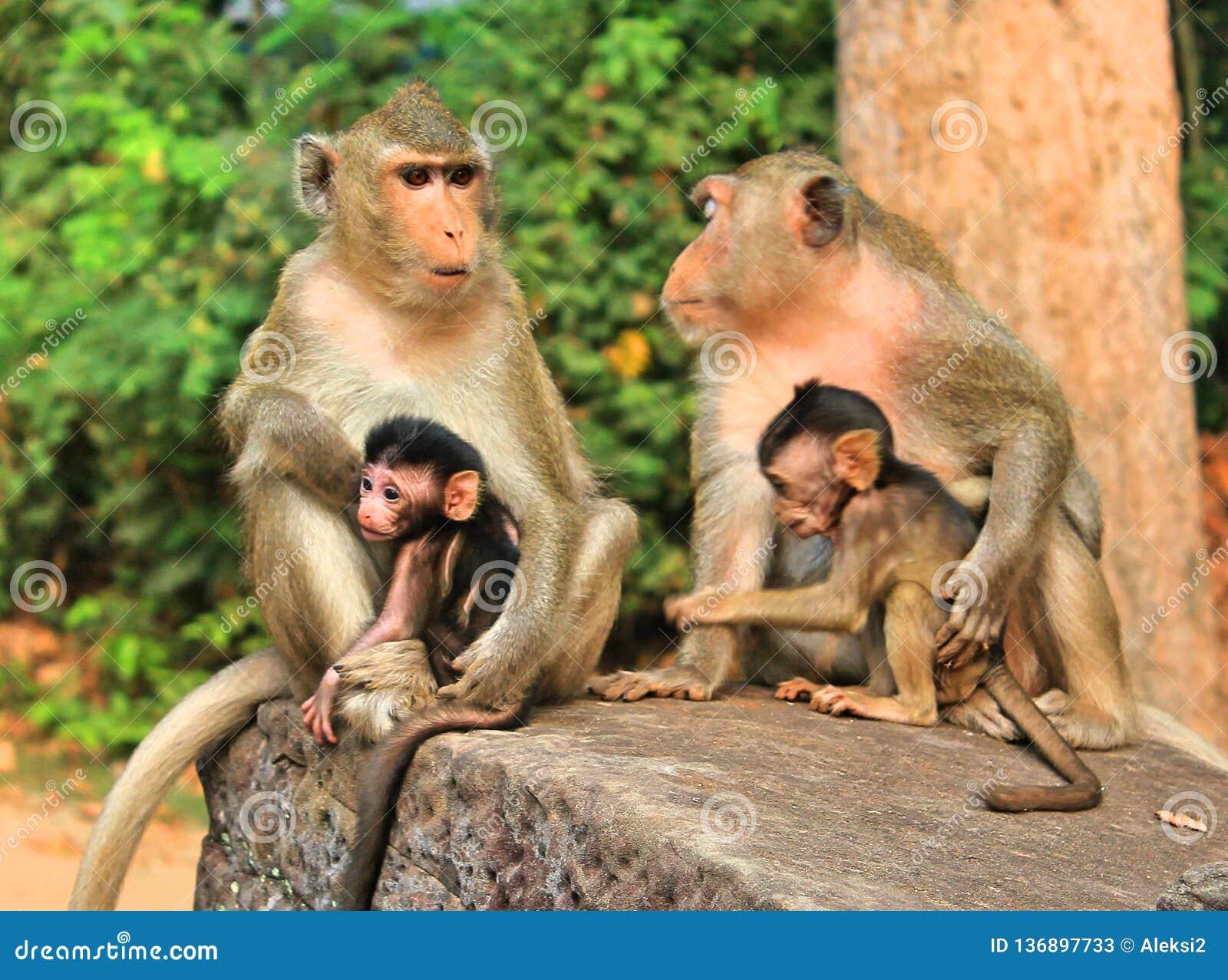 猴子家庭在柬埔寨