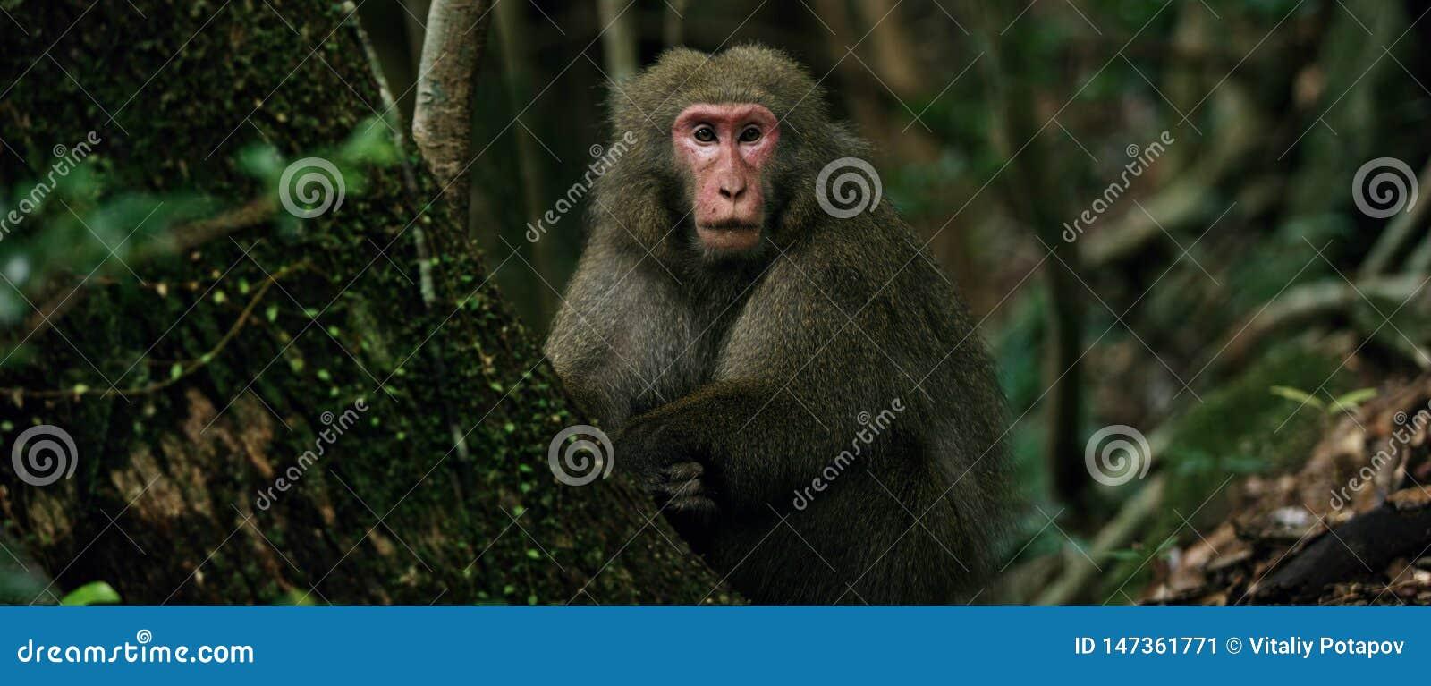猴子日本短尾猿