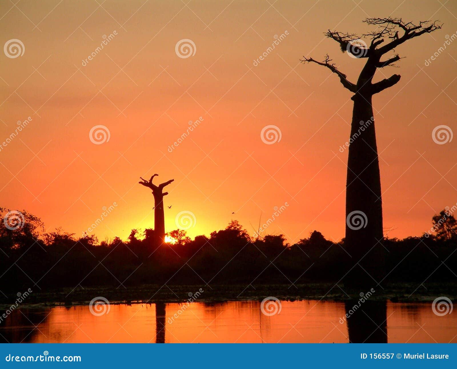 猴面包树剪影