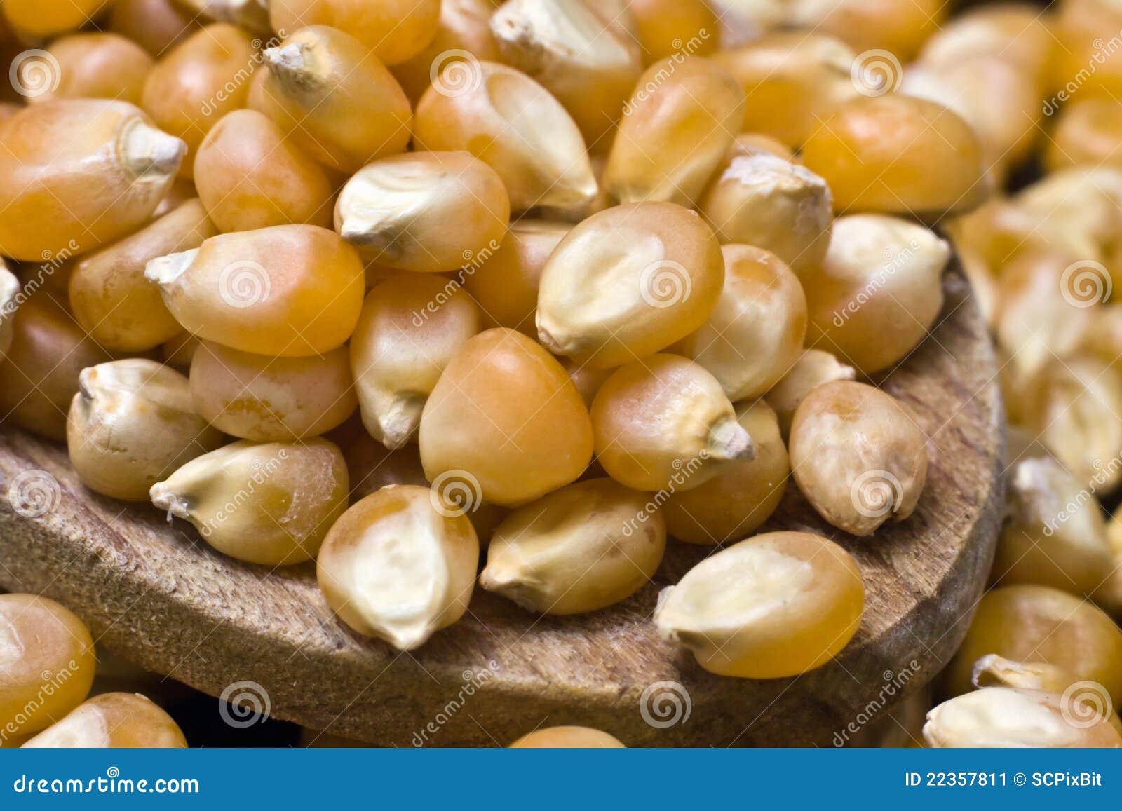 玉米5月玉蜀黍属