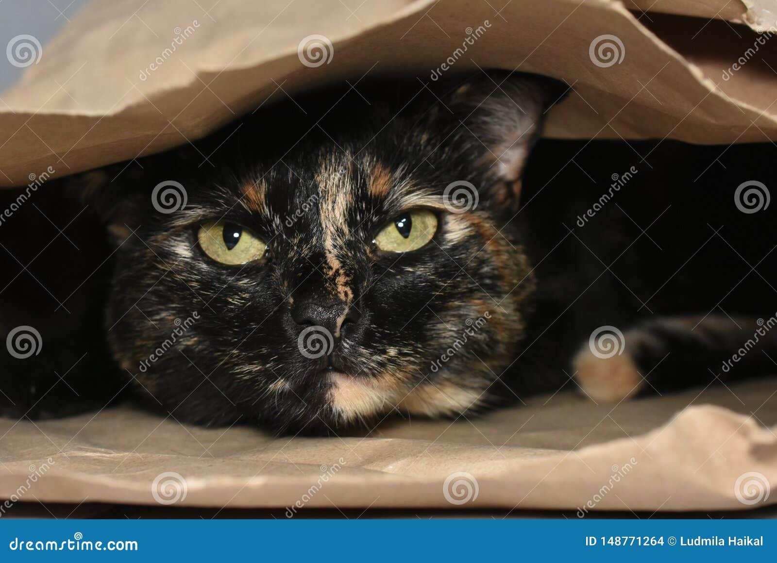 玩在纸板袋子里面的猫捉迷藏