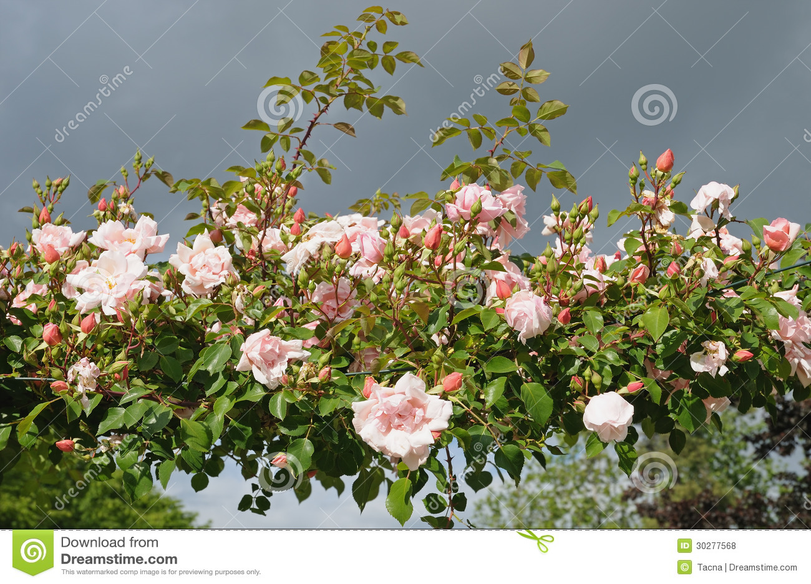 玫瑰在庭院里