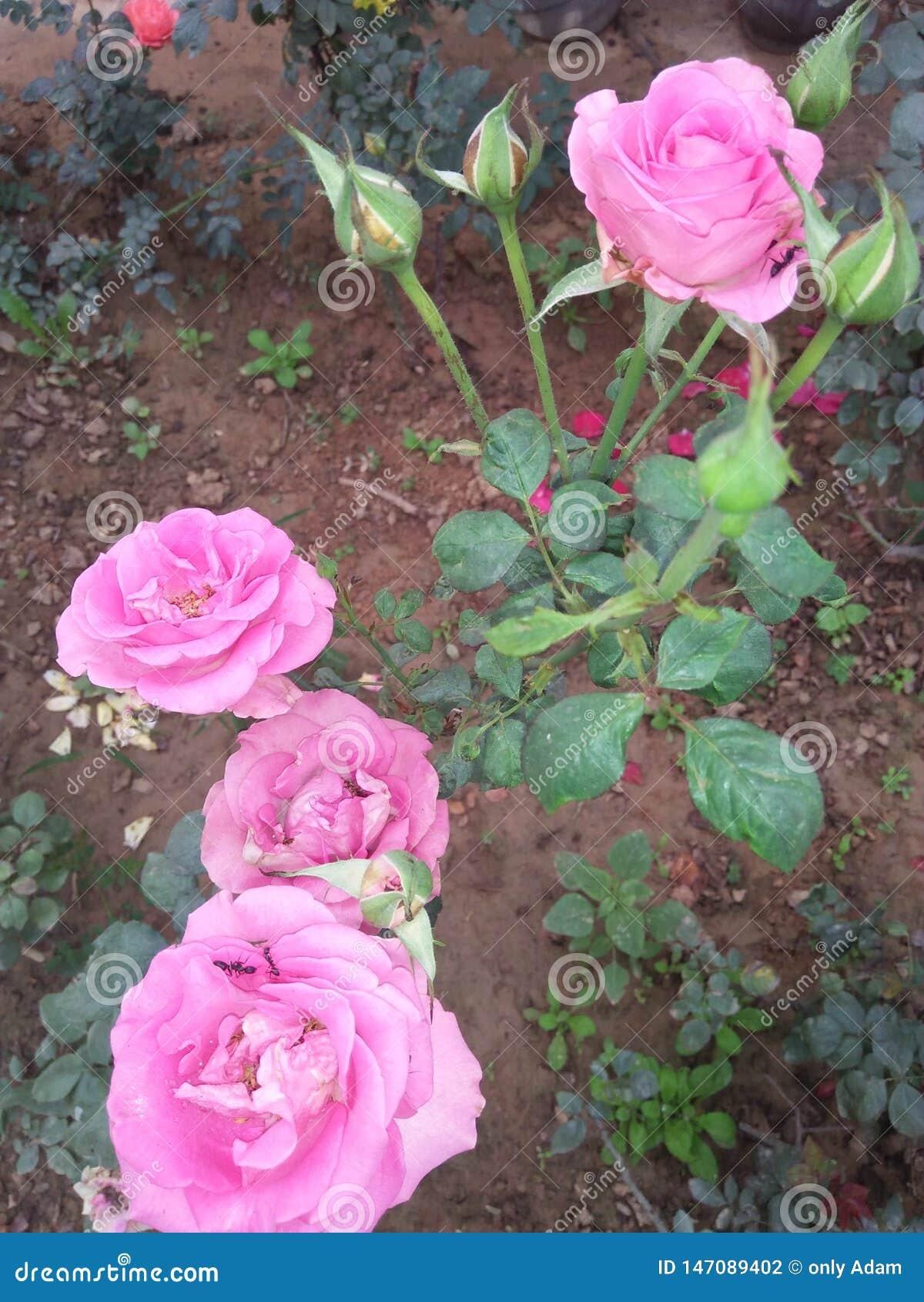 玫瑰玫瑰一直
