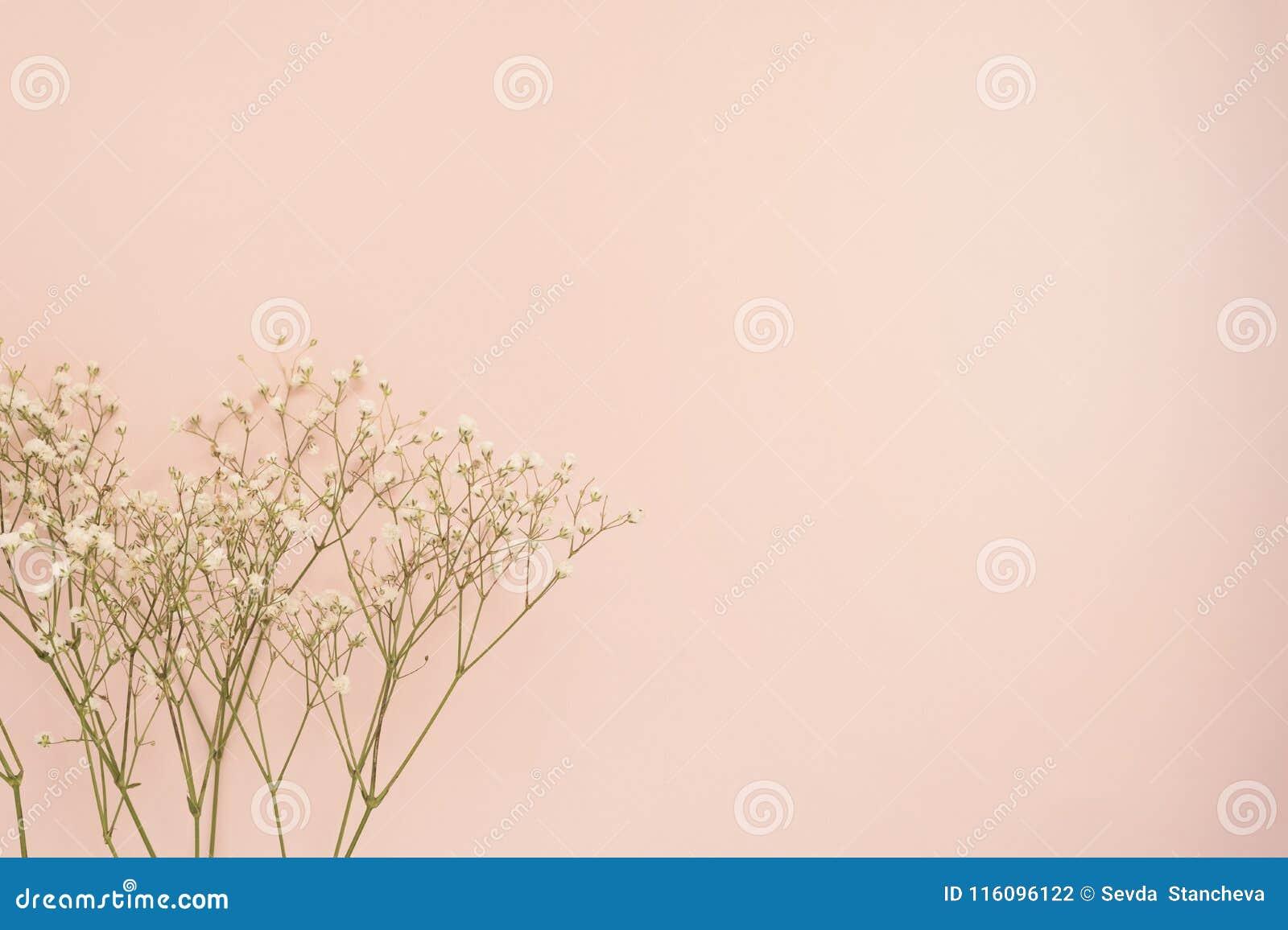 玫瑰简单的白花在有魄力的桃红色背景的 复制空间,花卉框架 婚礼、礼品券、华伦泰` s天或者母亲
