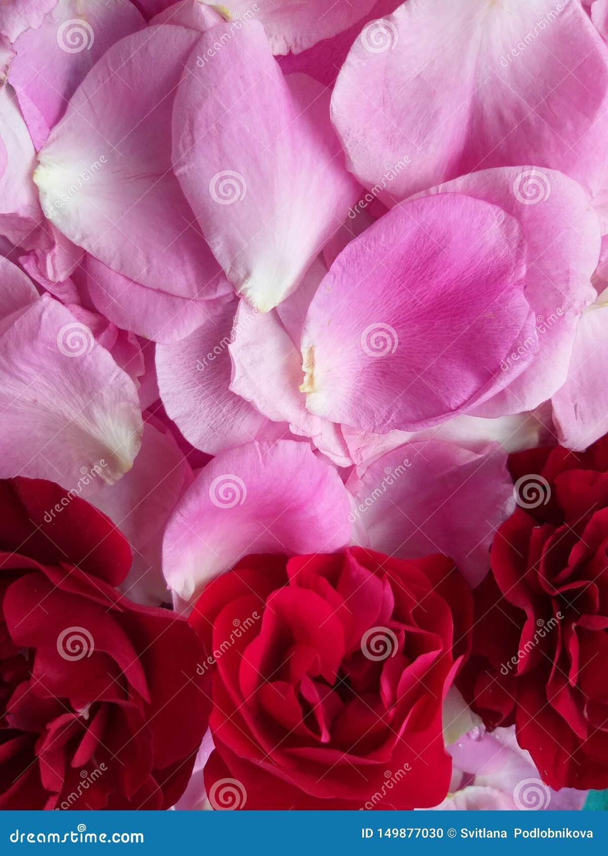玫瑰红在桃红色的瓣,背景