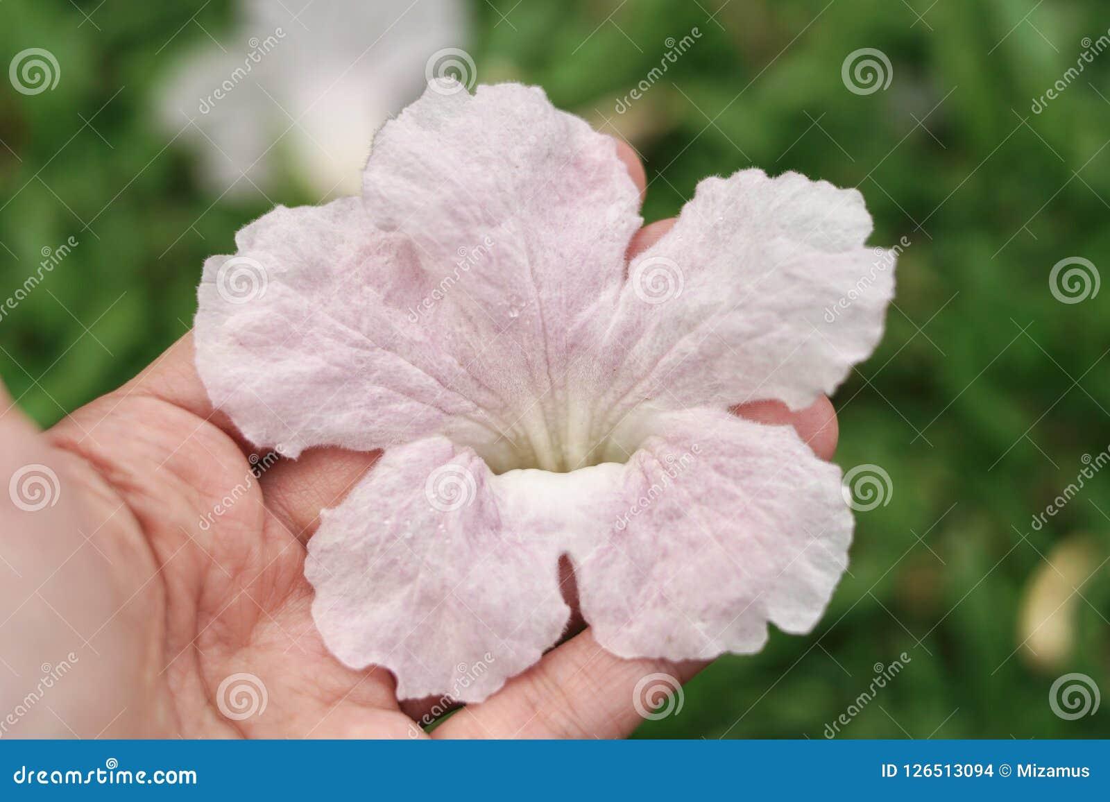 玫瑰色喇叭树花