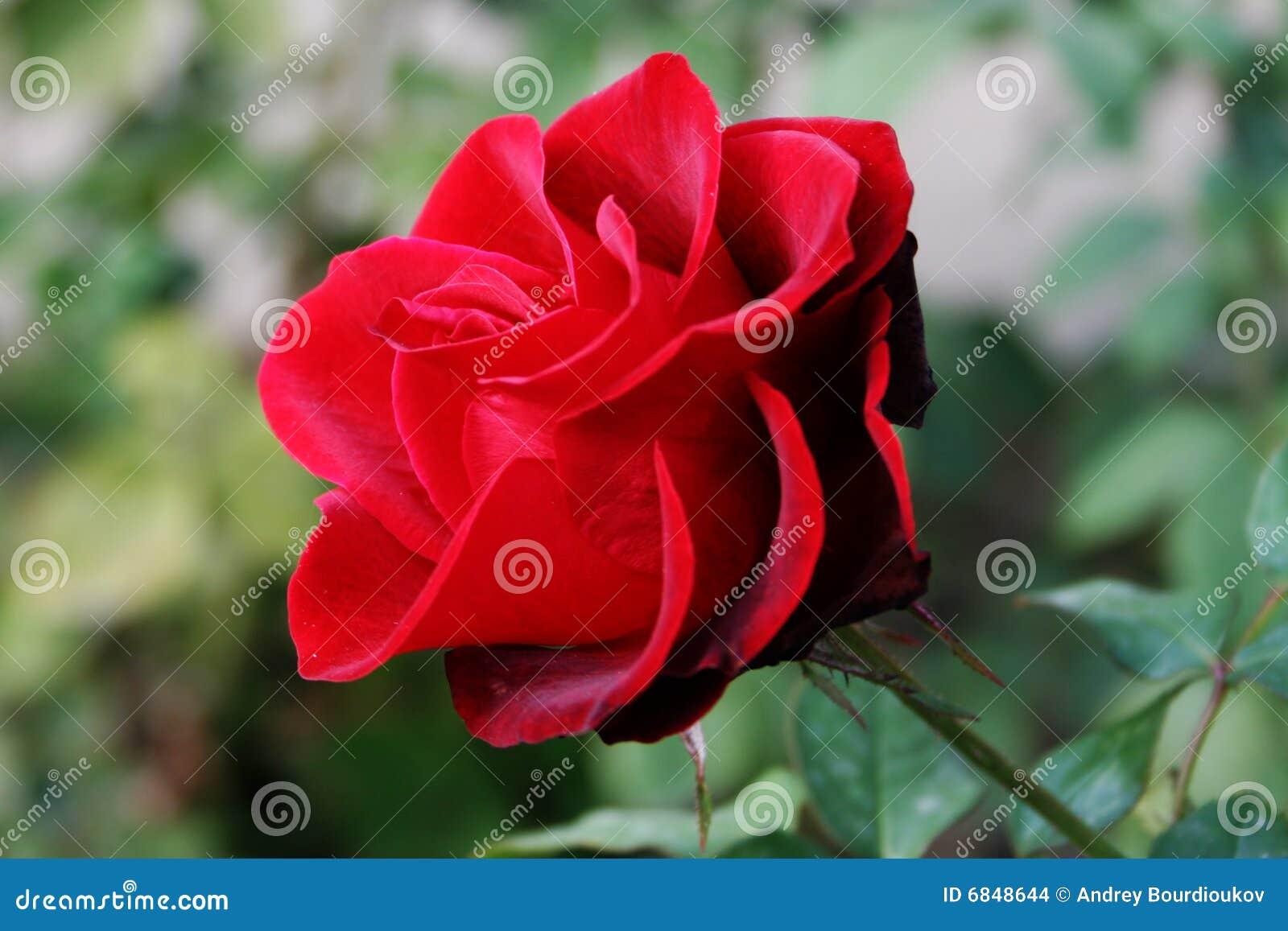 玫瑰色猩红色