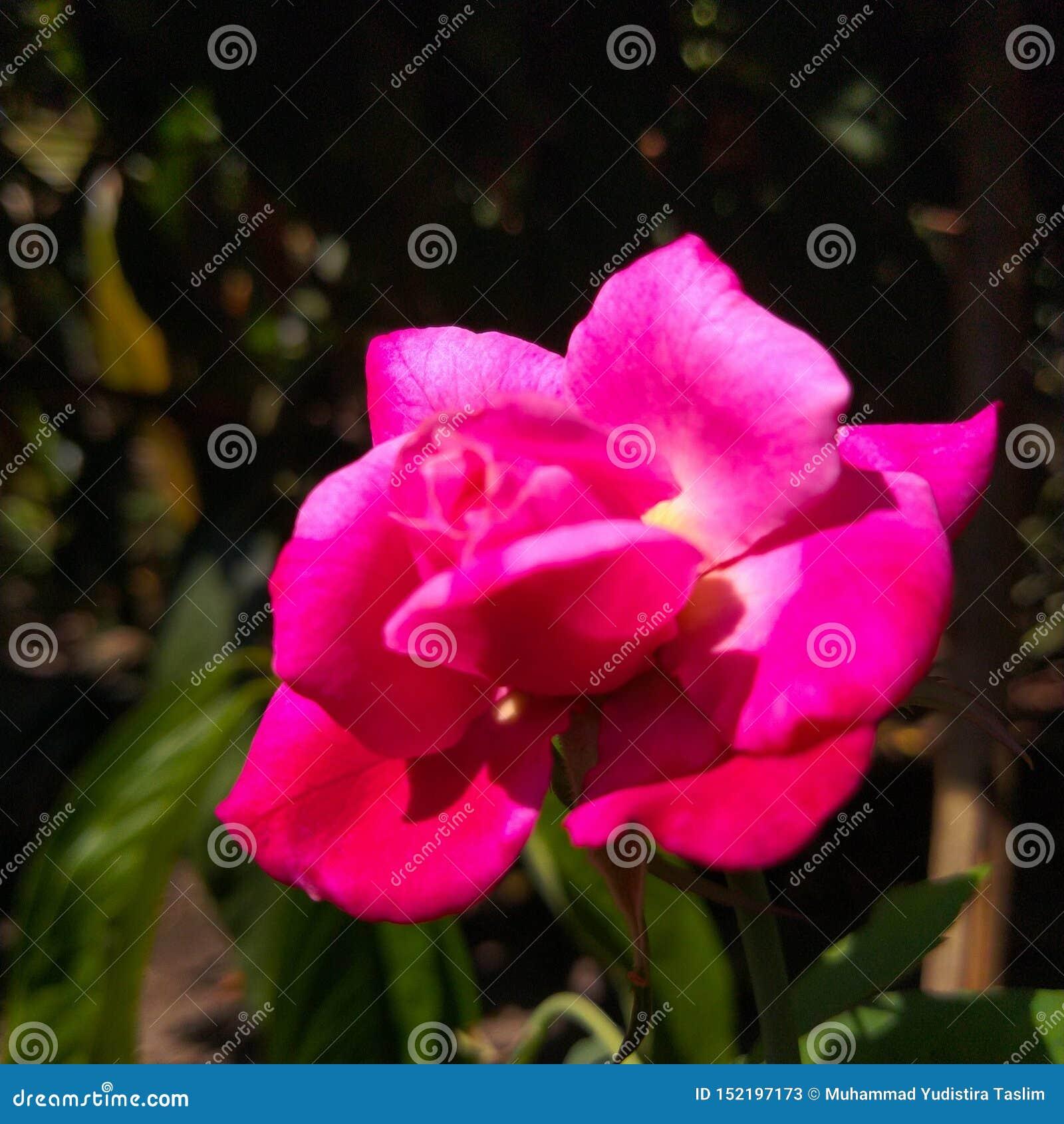 玫瑰色玫瑰,迷住在黑暗的花