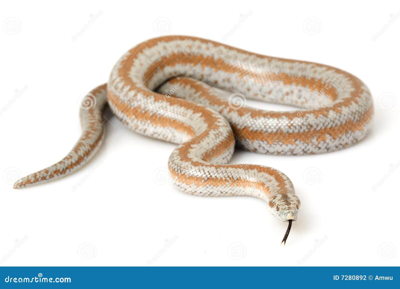 背景蟒蛇lichanura玫瑰色trivirgata白色.
