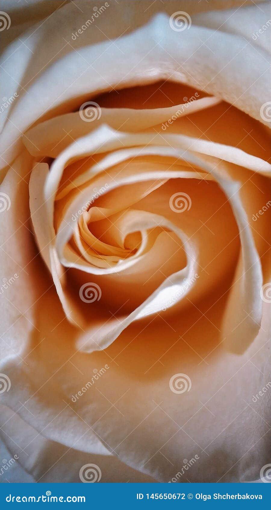 玫瑰花瓣背景影像的桃红色甜点细节