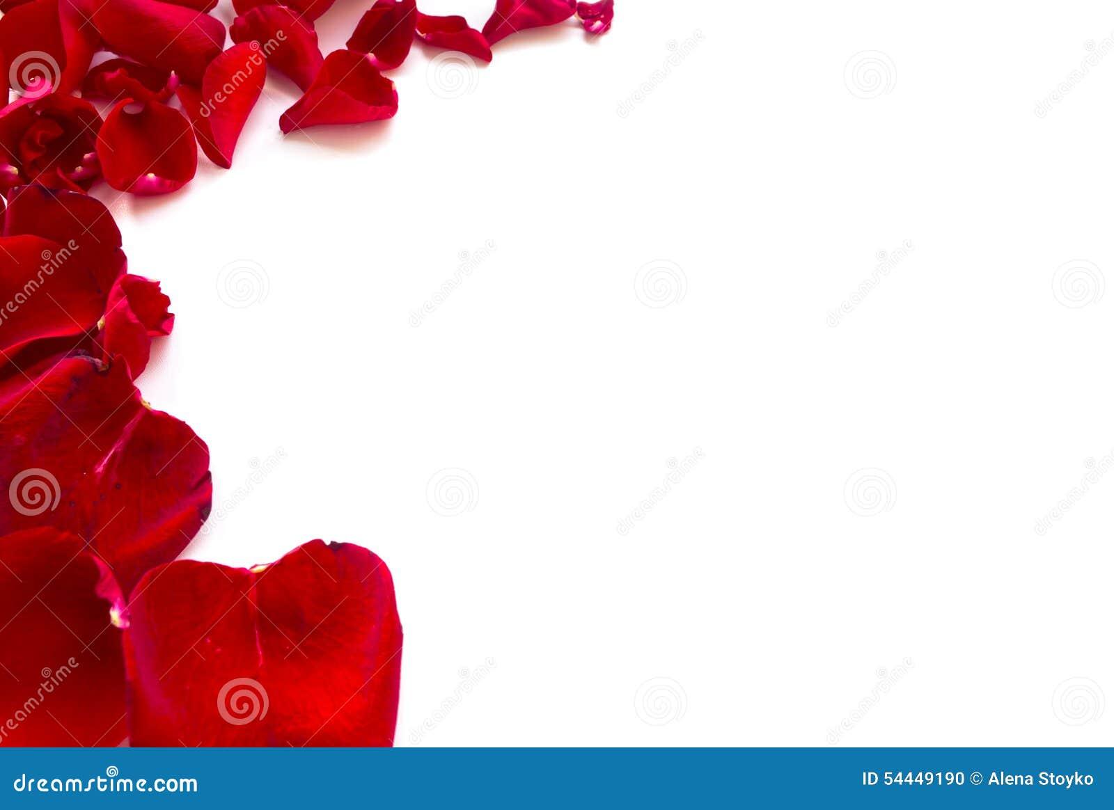 玫瑰花瓣在白色背景毗邻,隔绝.图片