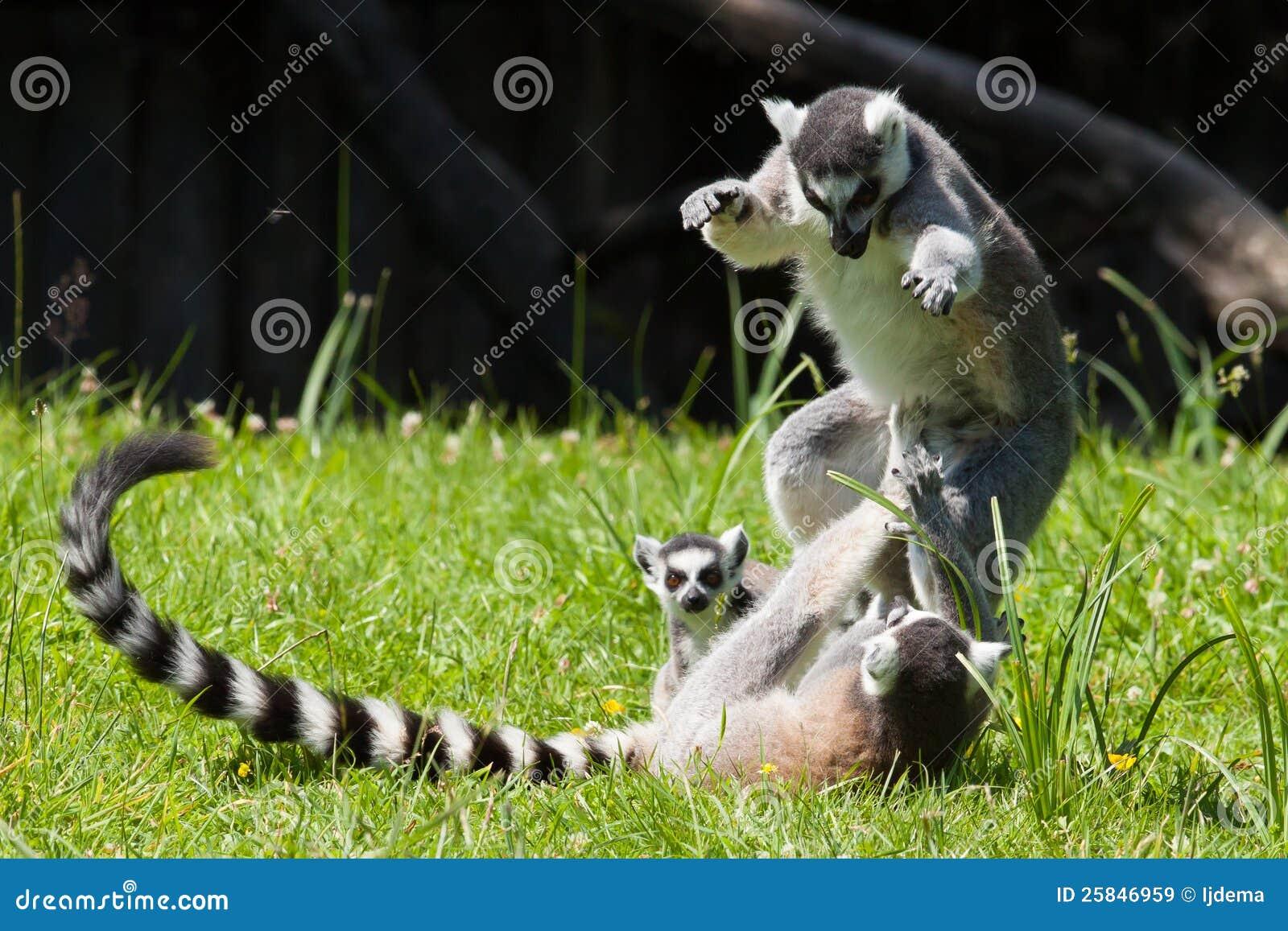 环纹尾的狐猴使用