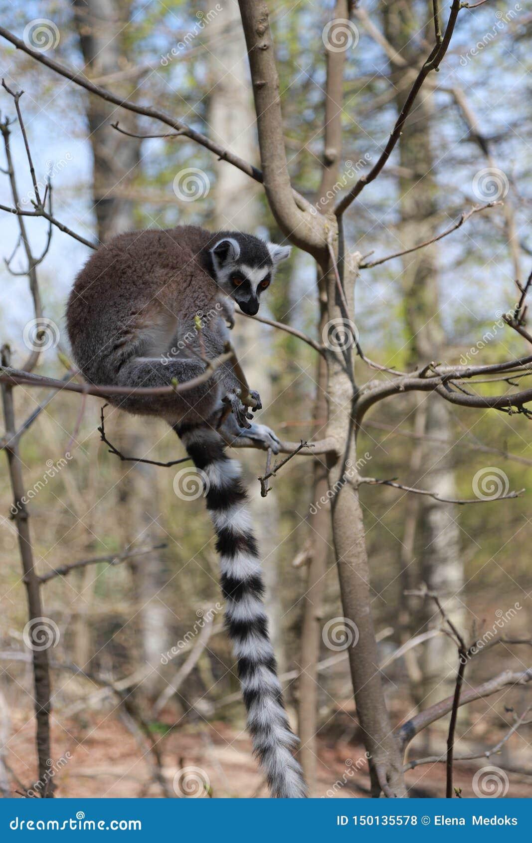 环纹尾的狐猴在树单独坐