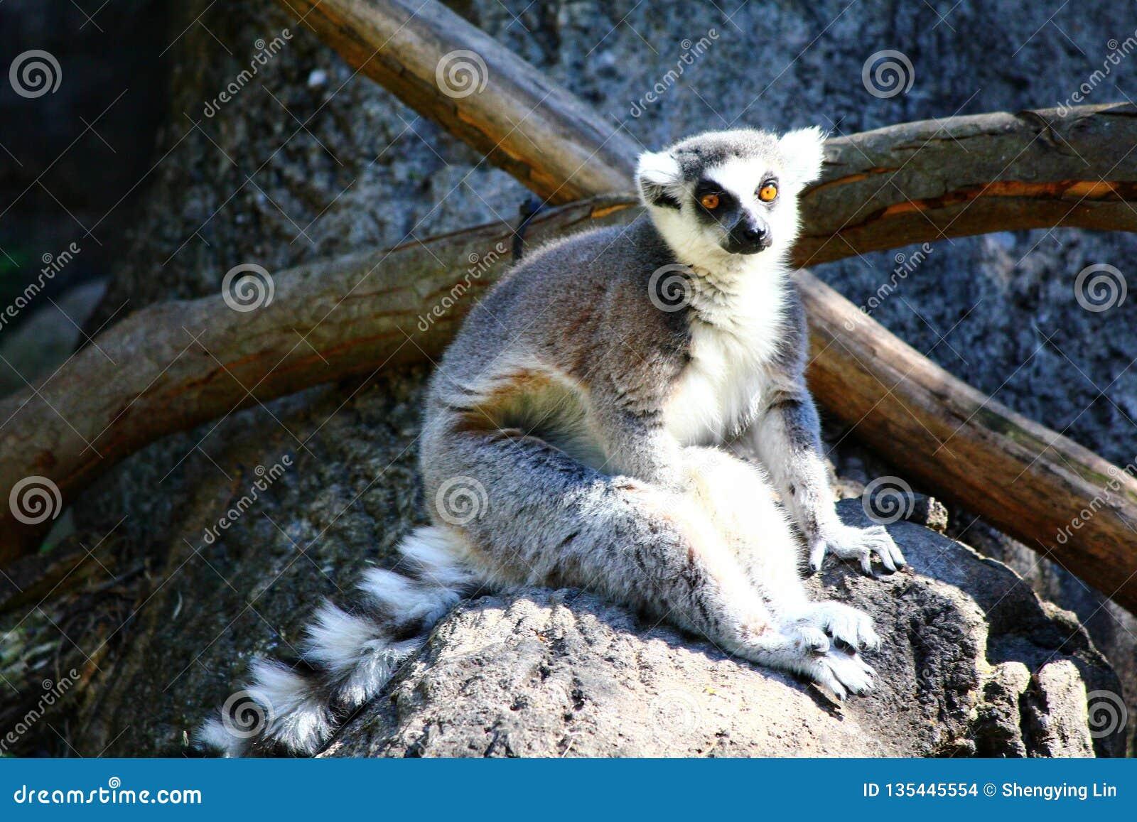 环纹尾的狐猴,狐猴catta
