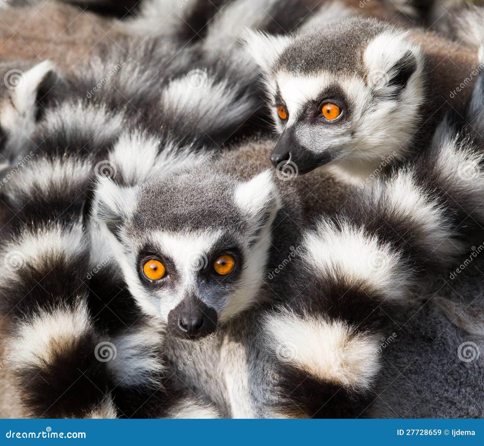 环纹尾的狐猴(狐猴catta)挤作一团