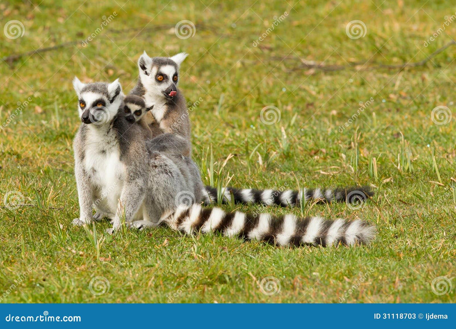 环纹尾的狐猴家庭