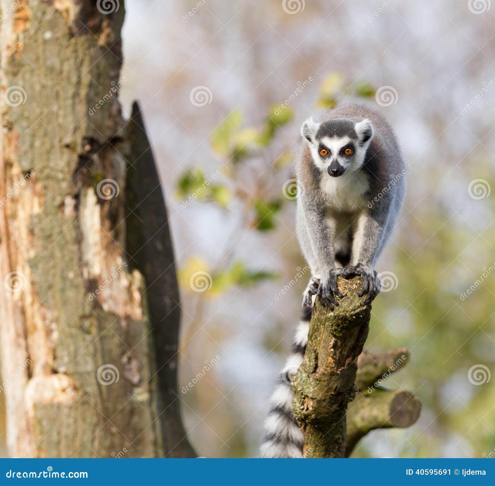 环纹尾的狐猴(狐猴catta)在树