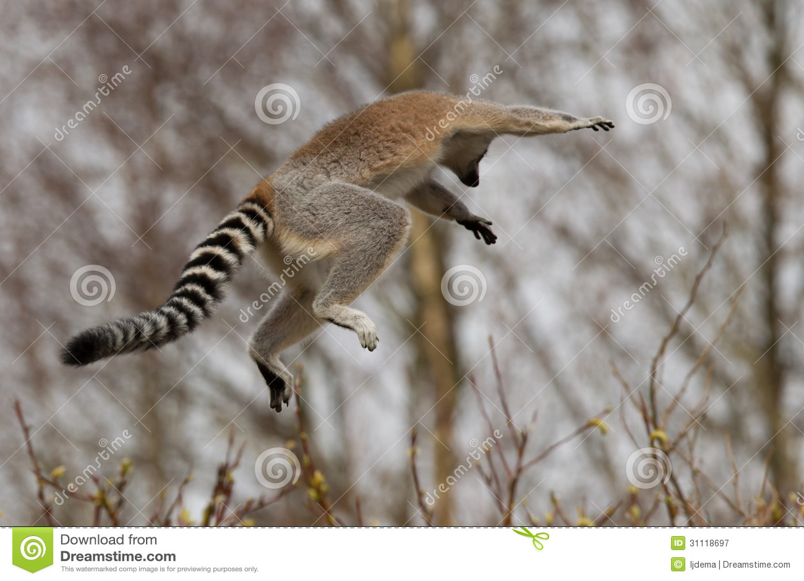 环纹尾的狐猴(狐猴catta)跳跃