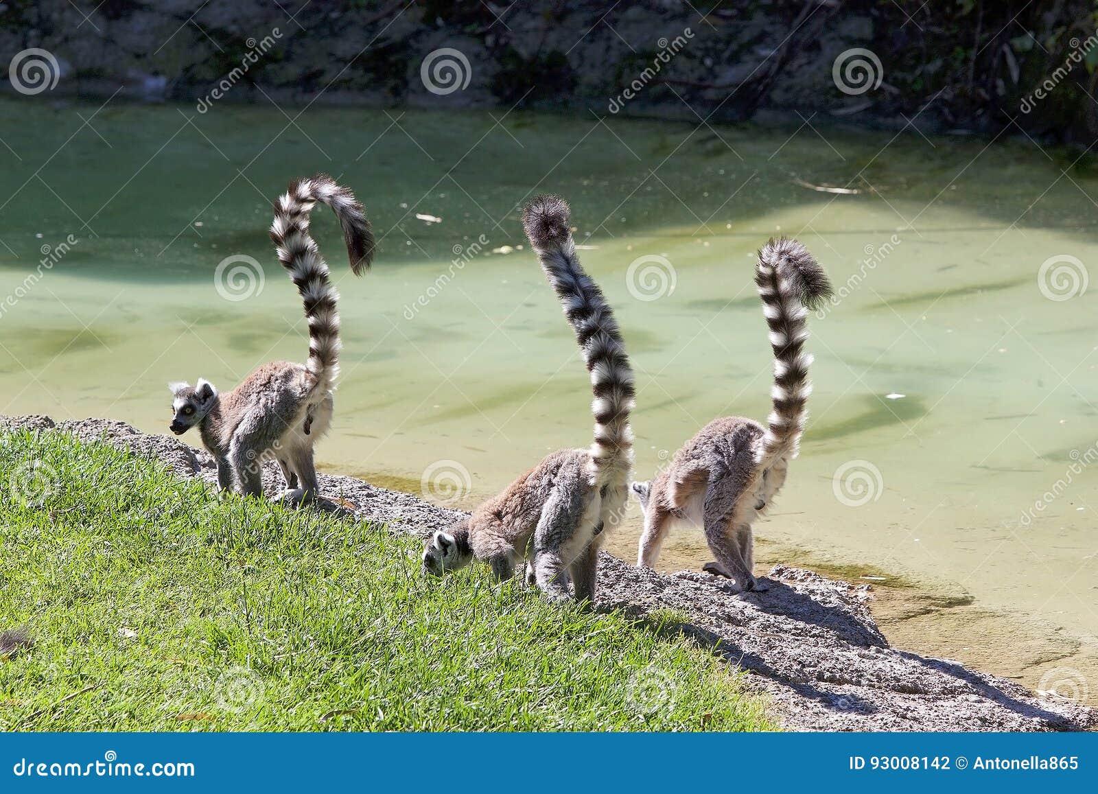 环纹尾的狐猴狐猴catta
