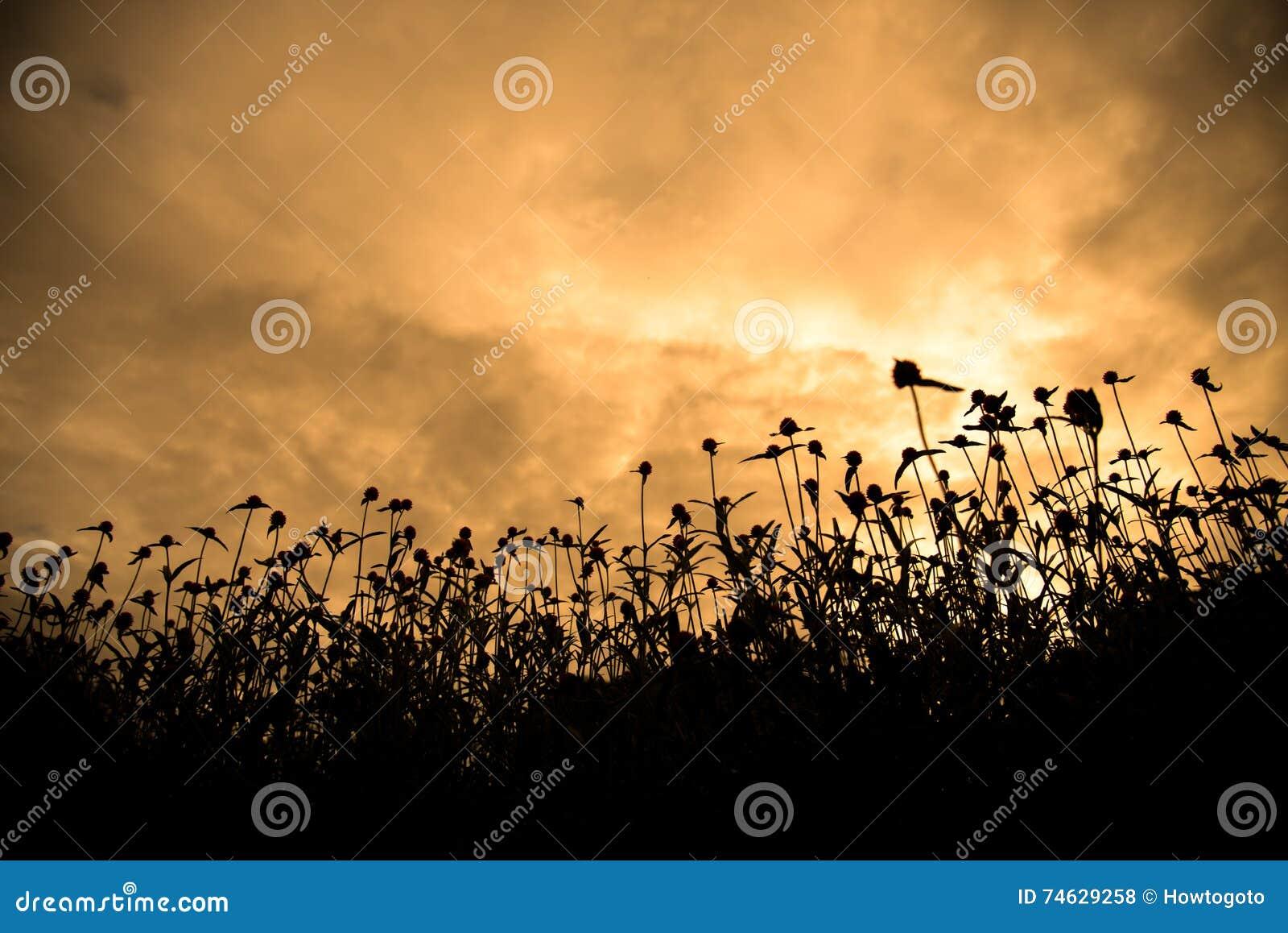现出轮廓临近与金黄天空的花田日落