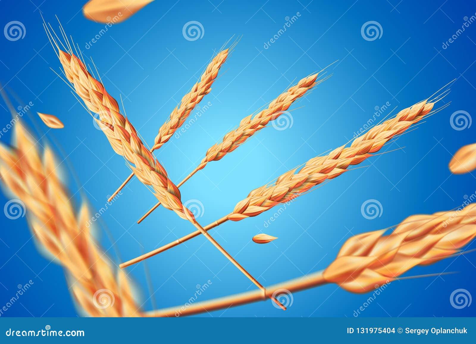 现实麦子燕麦元素 在健康食品或农业设计的蓝色背景隔绝的飞行的详细的大麦