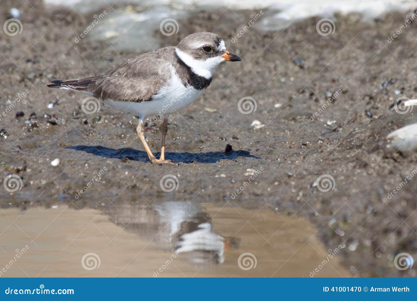 珩科鸟semipalmated