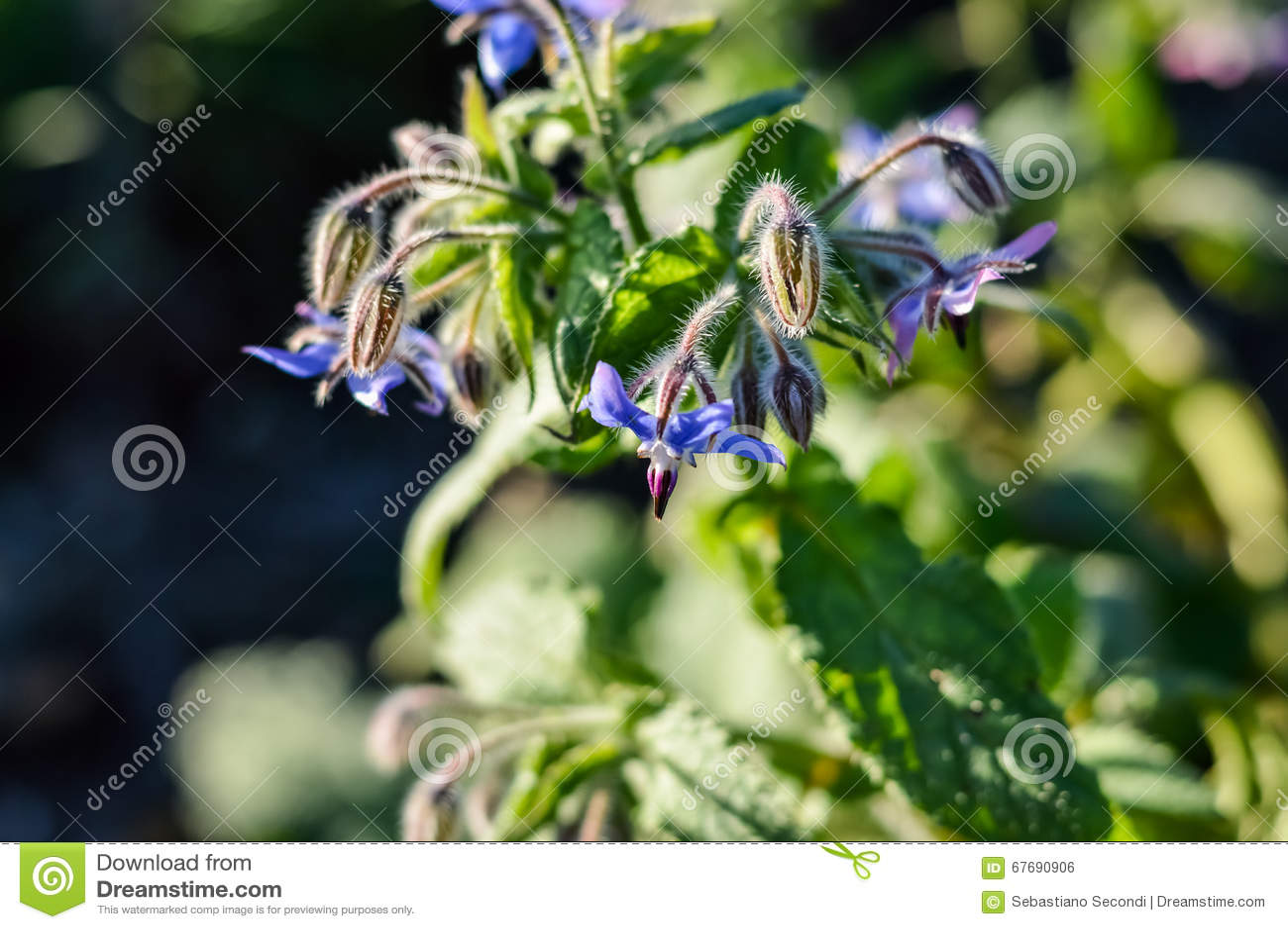 琉璃苣花(紫草科officinalis)