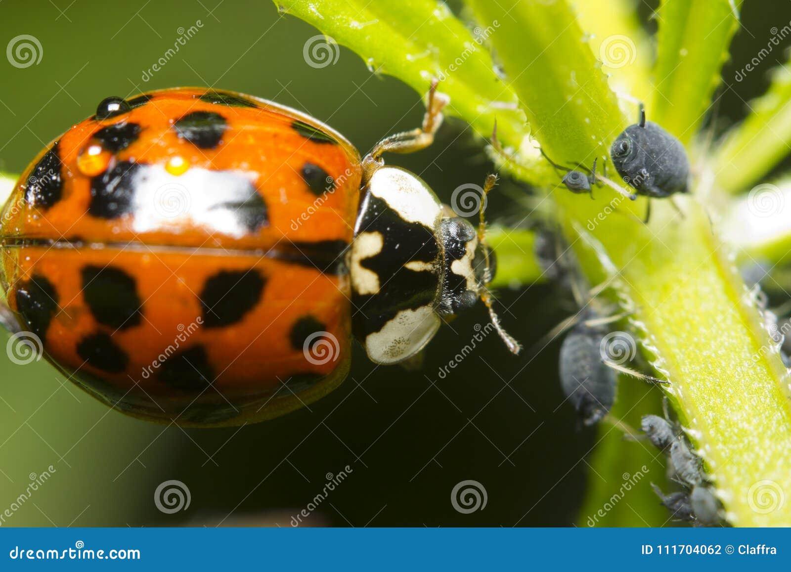 瓢虫和蚜虫