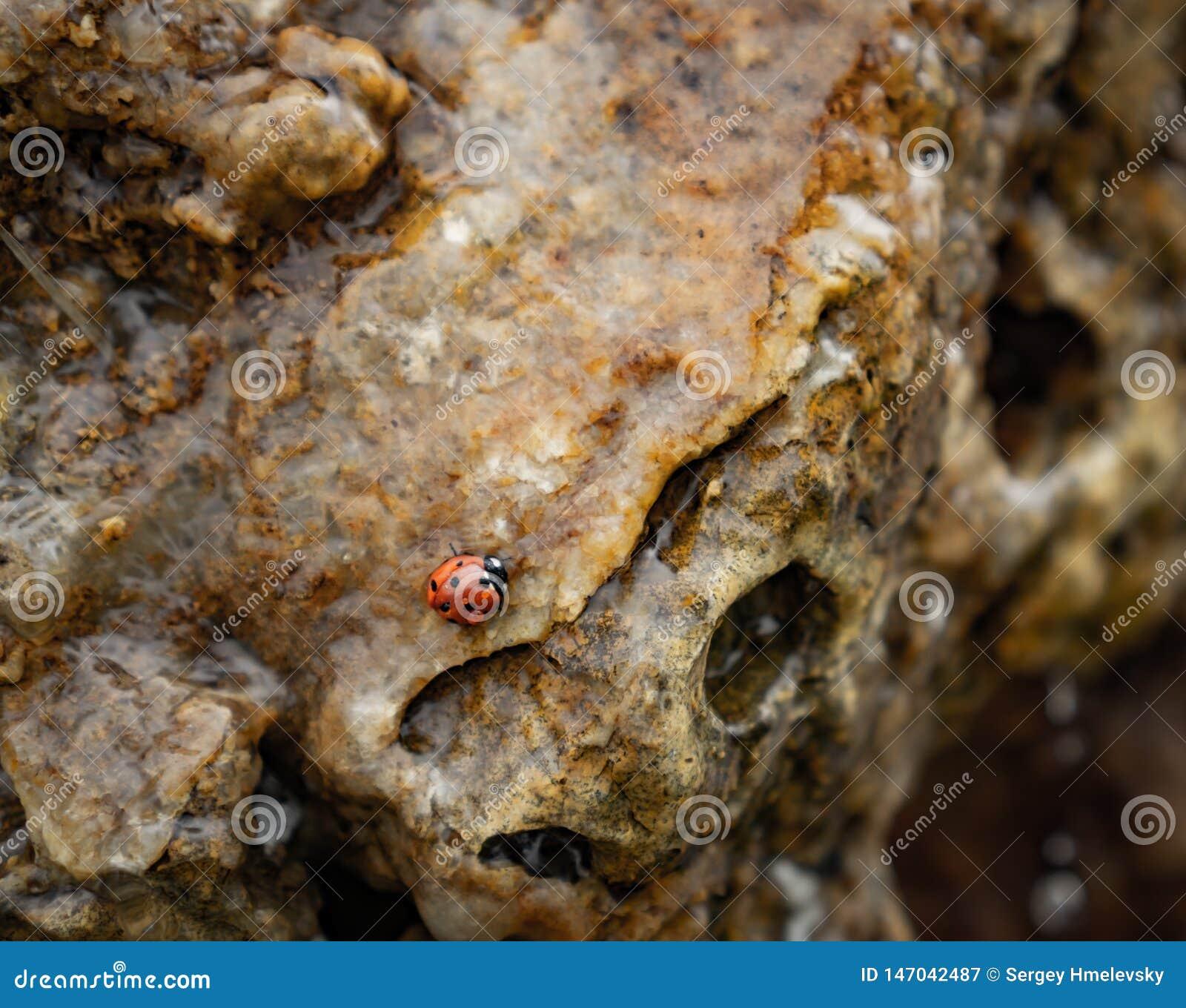 瓢虫在岩石的水中