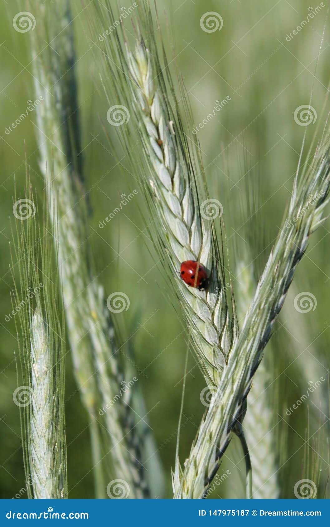 瓢虫在草甸