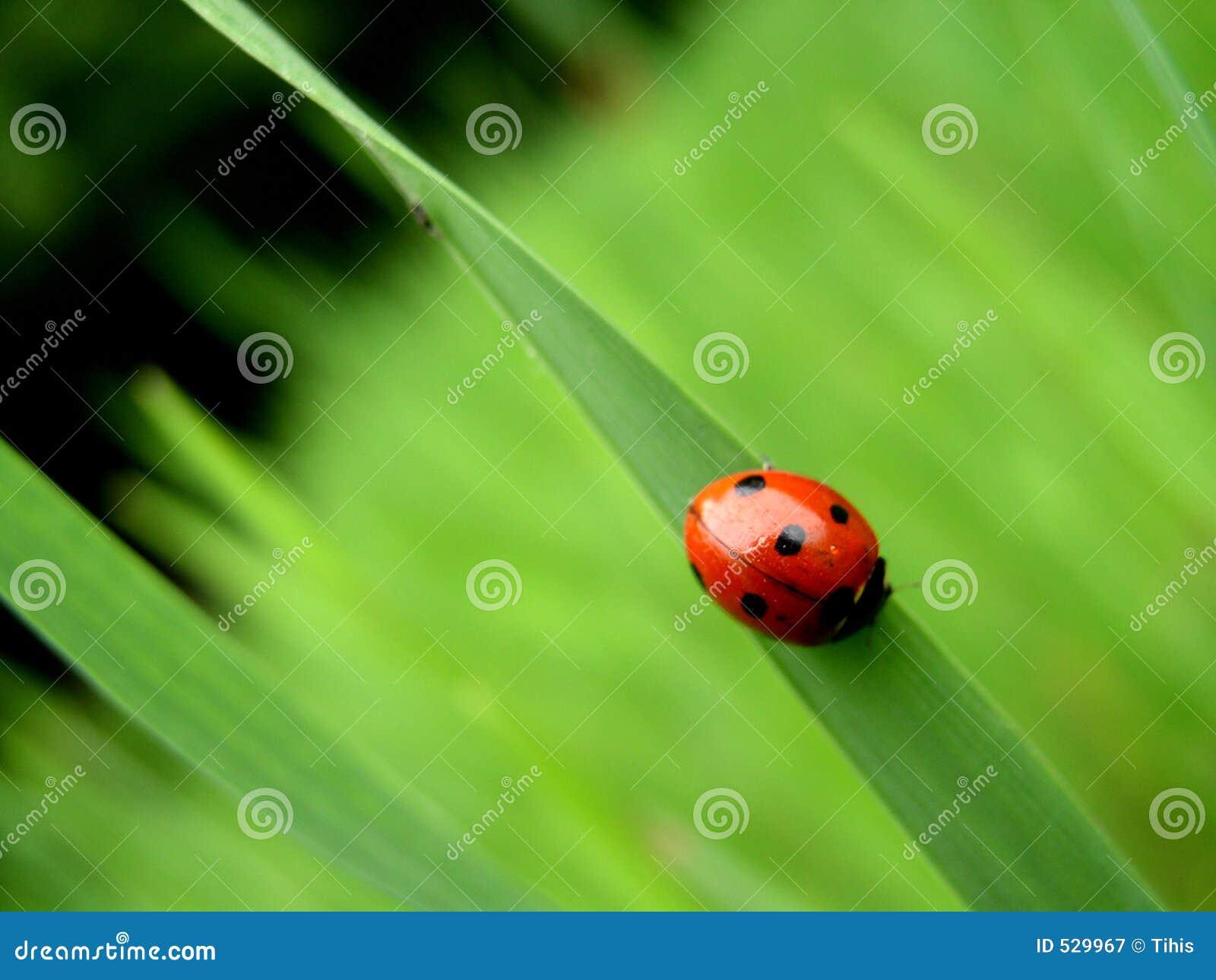 Download 瓢虫 库存图片. 图片 包括有 bringer, 绿色, 瓢虫, 本质, 食物, 运气, 人力, 春天, 乐趣 - 529967