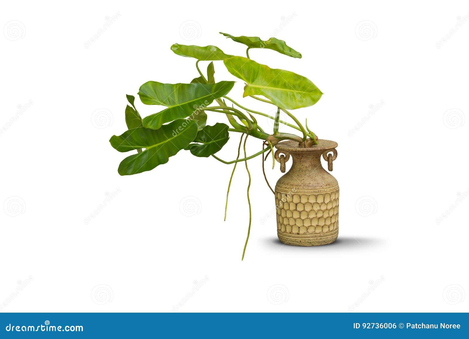 瓦器在白色隔绝的黏土花瓶的绿色植物