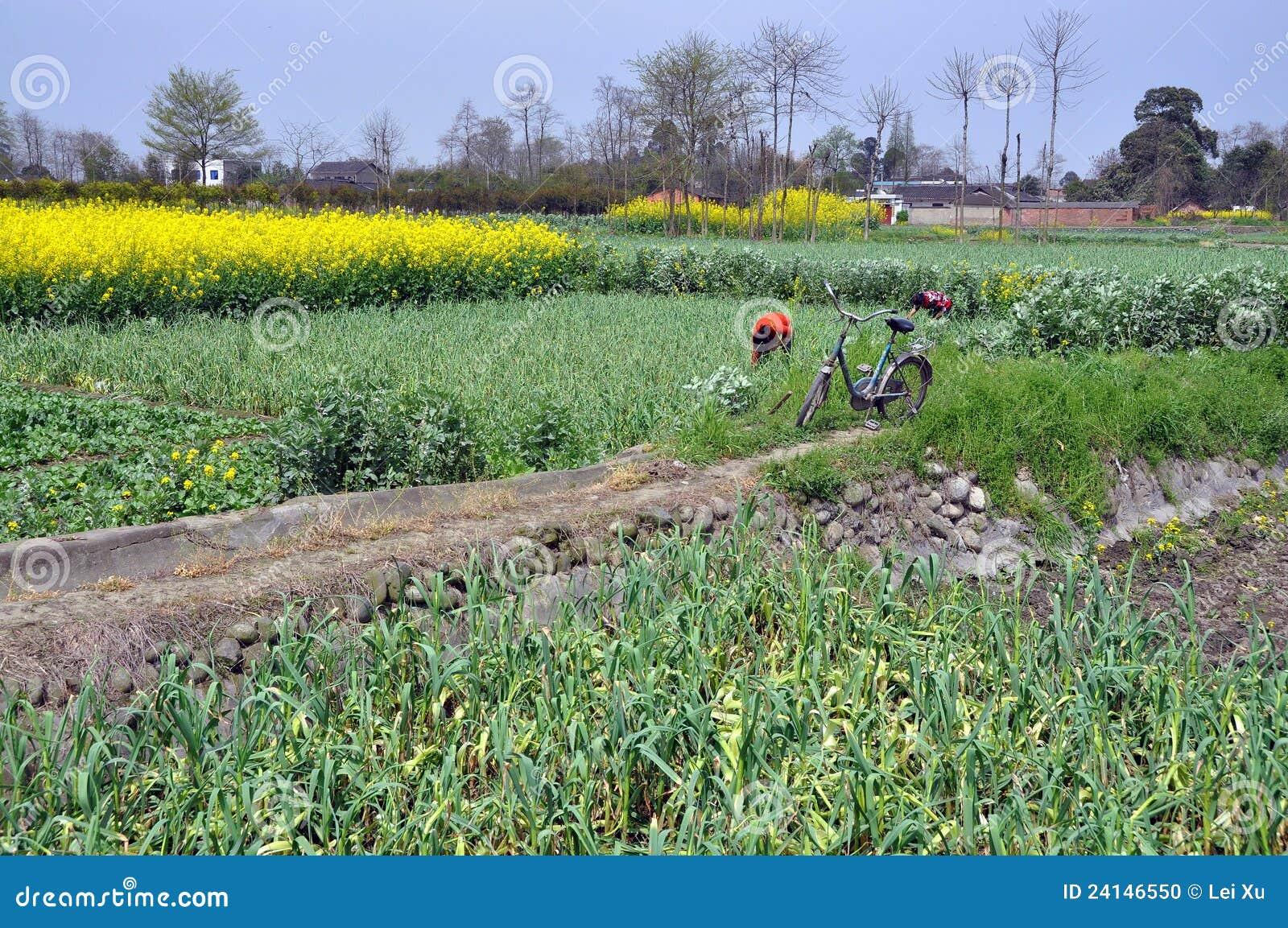 缩小的老路pengzhou省四川坐给女工的属于的自行车瓷土制农田大蒜运作图片