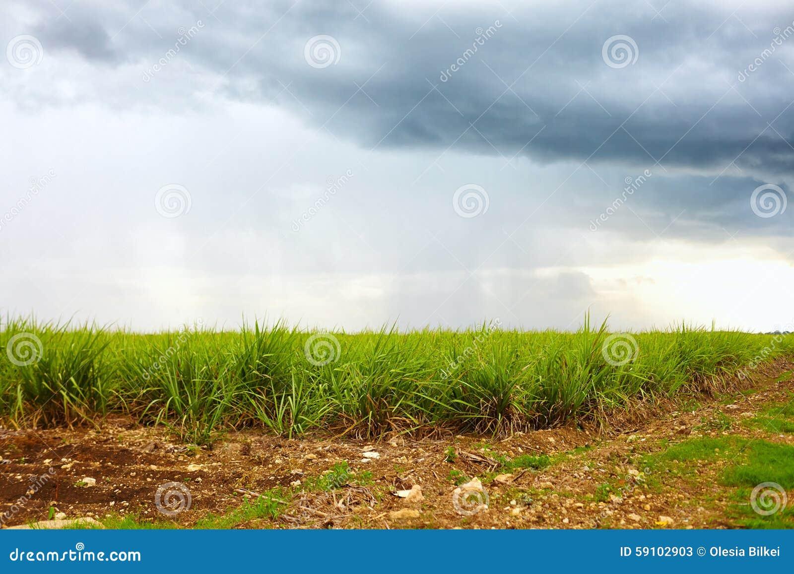 甘蔗种植园在多云天空下