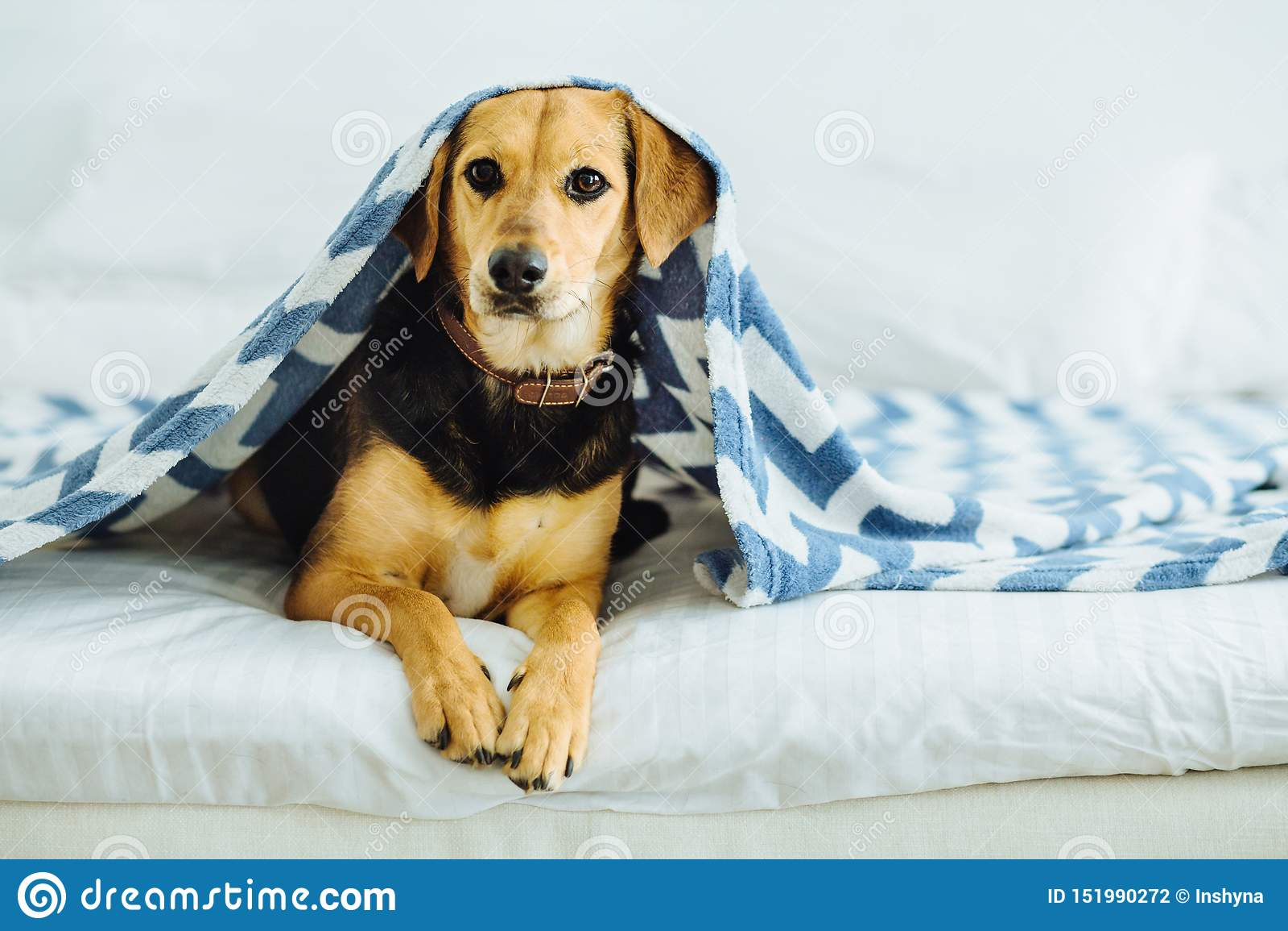 甜狗从毯子下面偷看  宠物在床上说谎 松弛和舒适家庭comcept