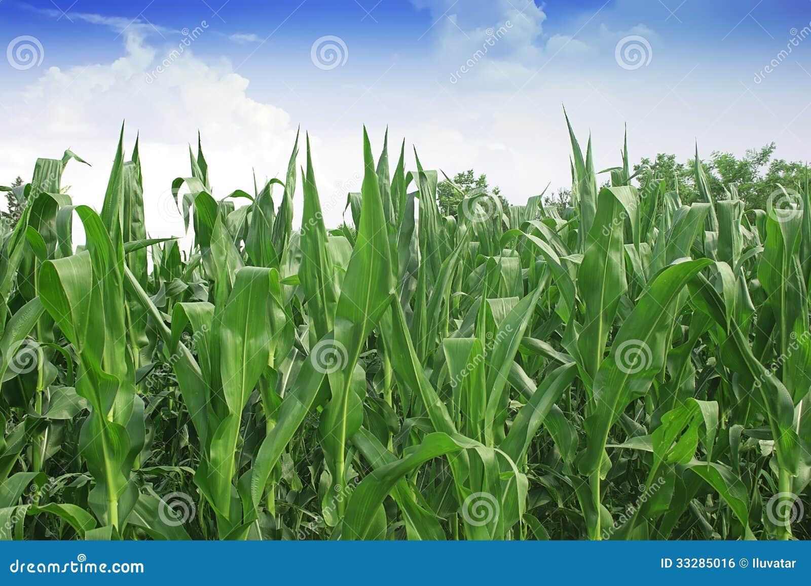 甜玉米领域