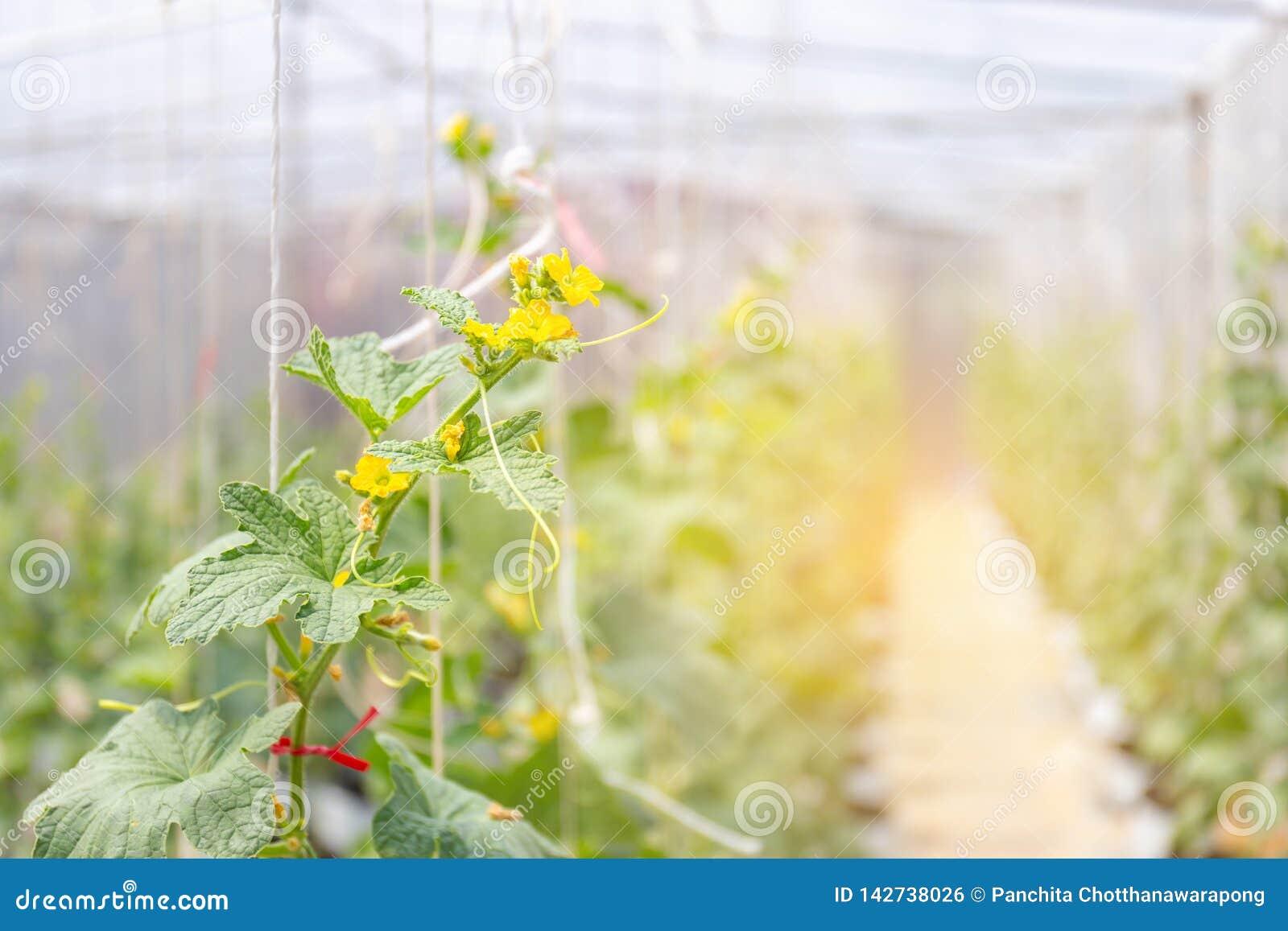 甜瓜生长自影片温室的瓜植物种田