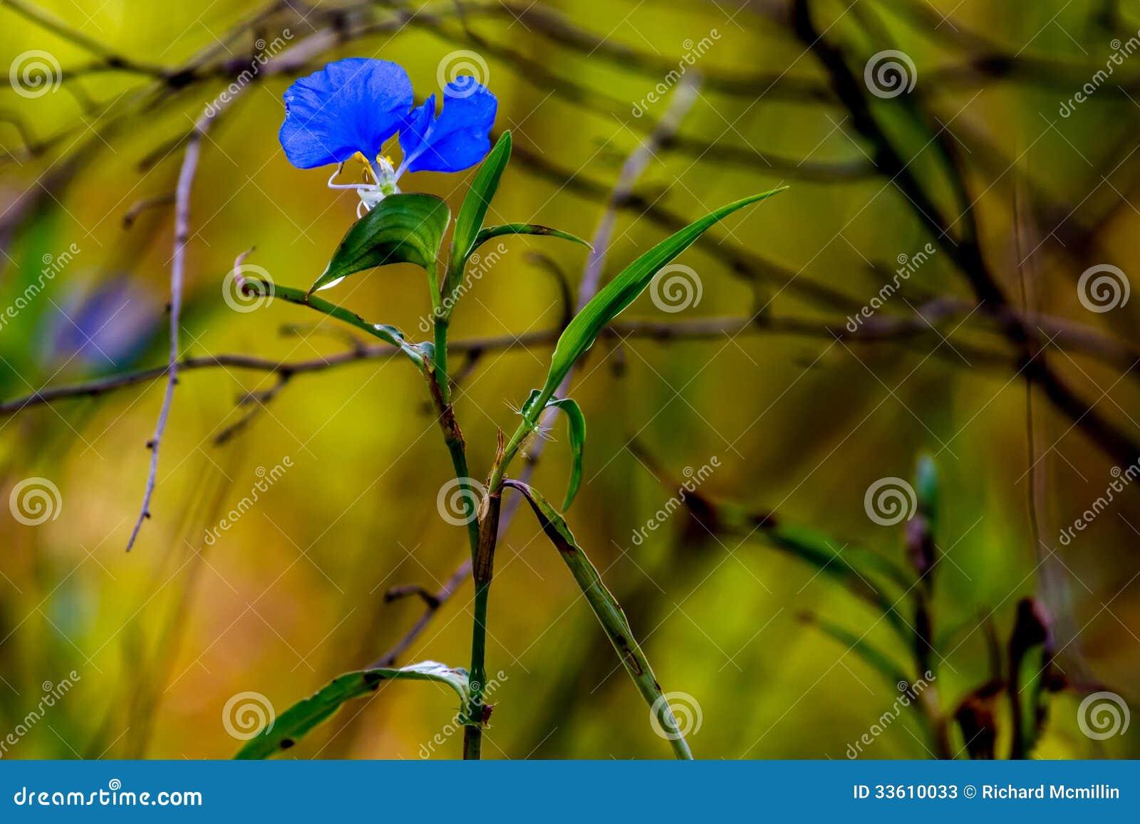 生长一朵美丽的蓝色笔直鸭跖草(Commelina erecta)的野花狂放在狂放的得克萨斯大草原