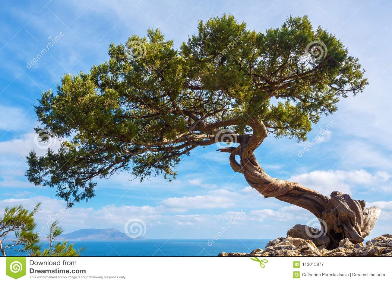 生长在一个悬崖上的峭壁的杉木在一个晴天