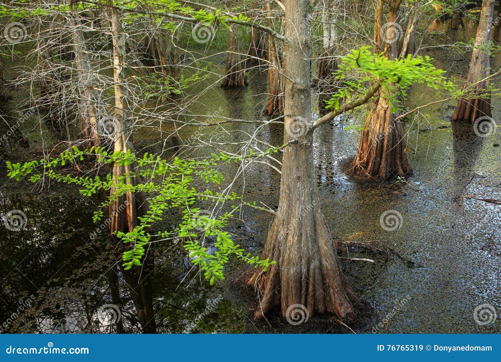 生长在一个沼泽的区域的池柏树在佛罗里达