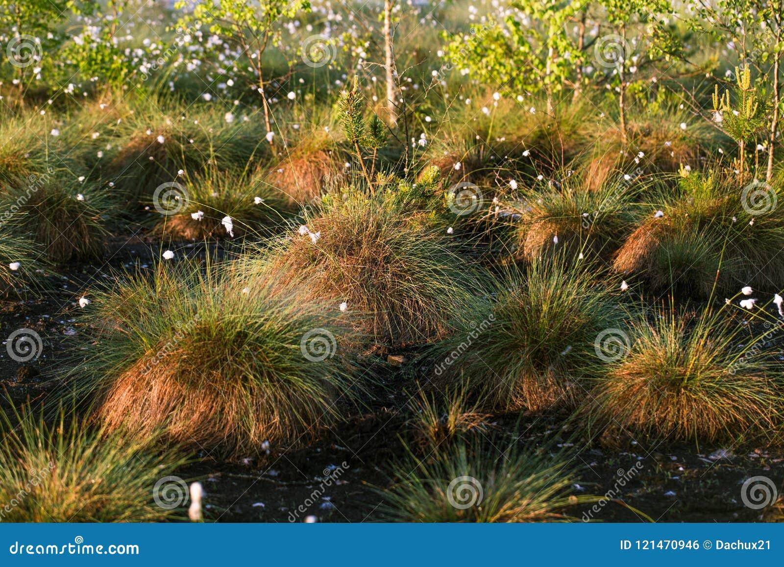 生长在一个自然沼泽栖所的Cottongrass 在weltalnds的草丛
