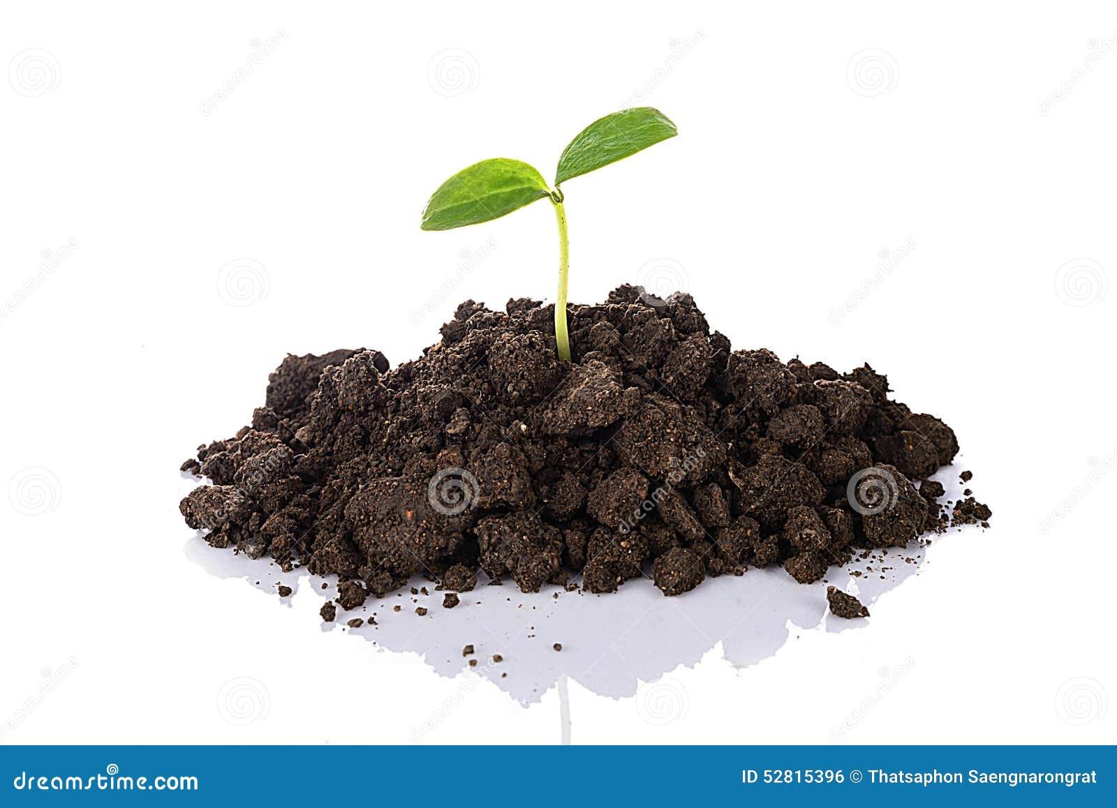 生长在与反射的土壤的年轻幼木,隔绝在w