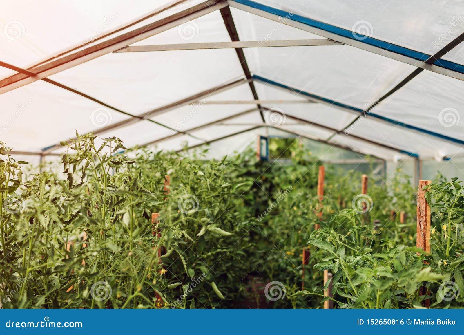 生长在农场的温室的蕃茄 种田,从事园艺的概念 E