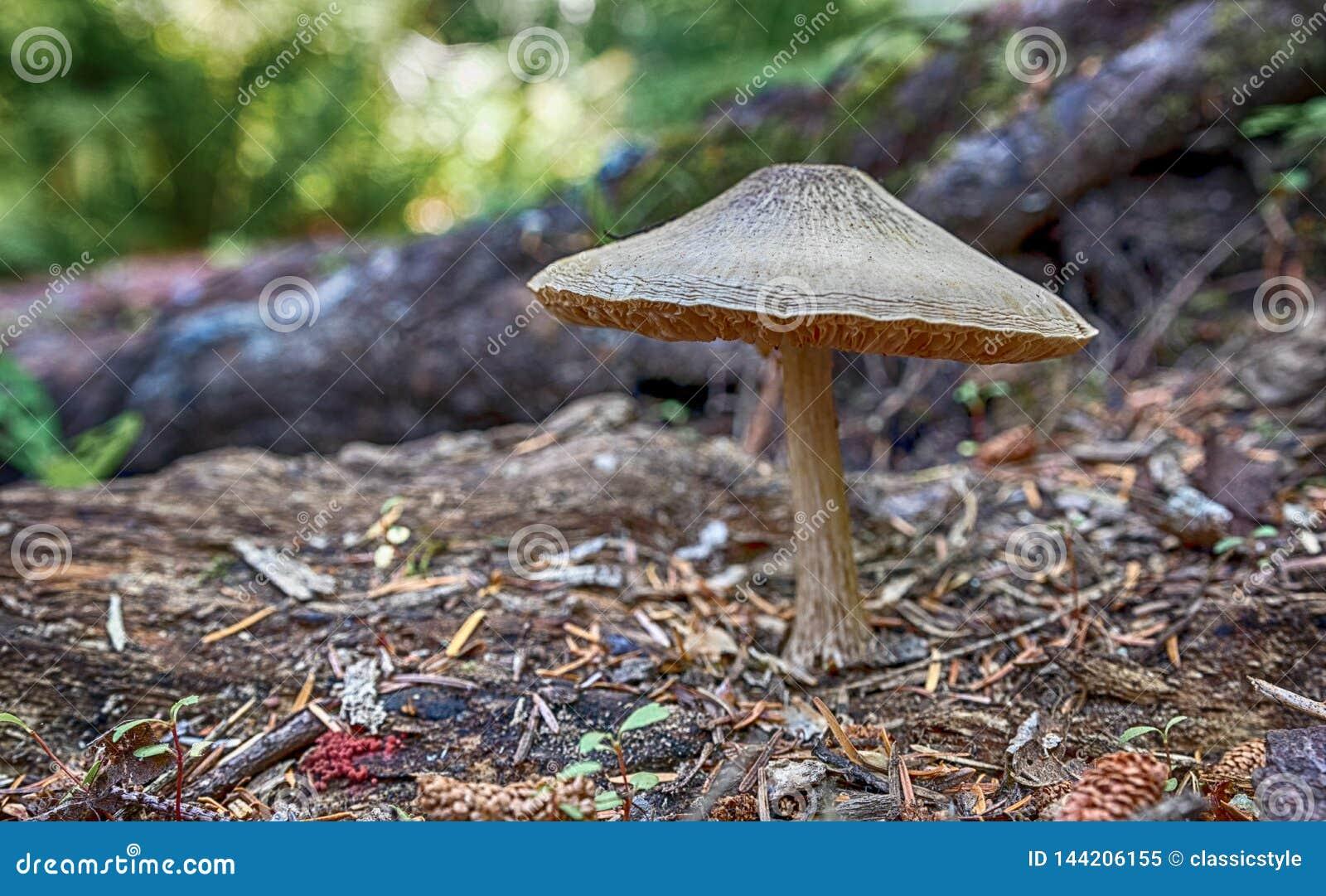 生长在地面上的大秋天蘑菇