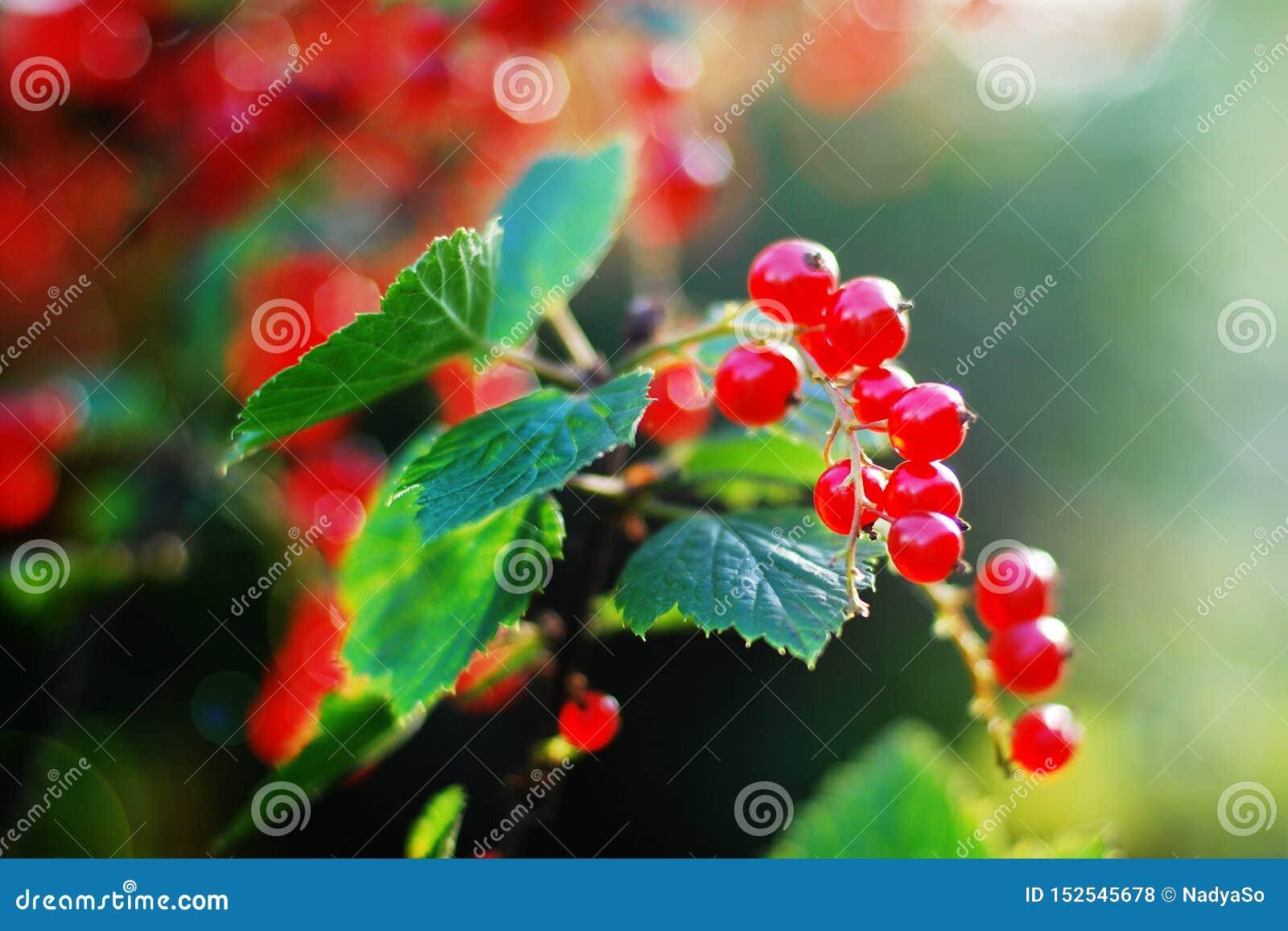 生长在太阳强光的庭院里的红浆果莓果