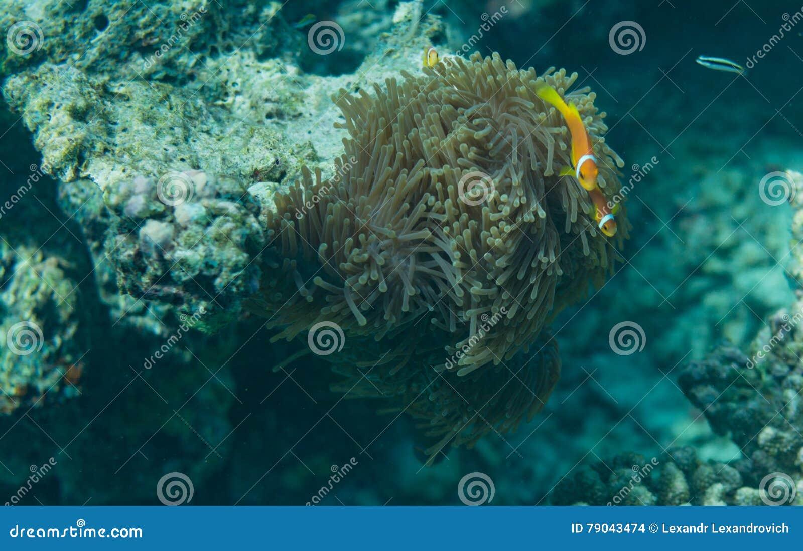生长在岩石的珊瑚植物水下在马尔代夫