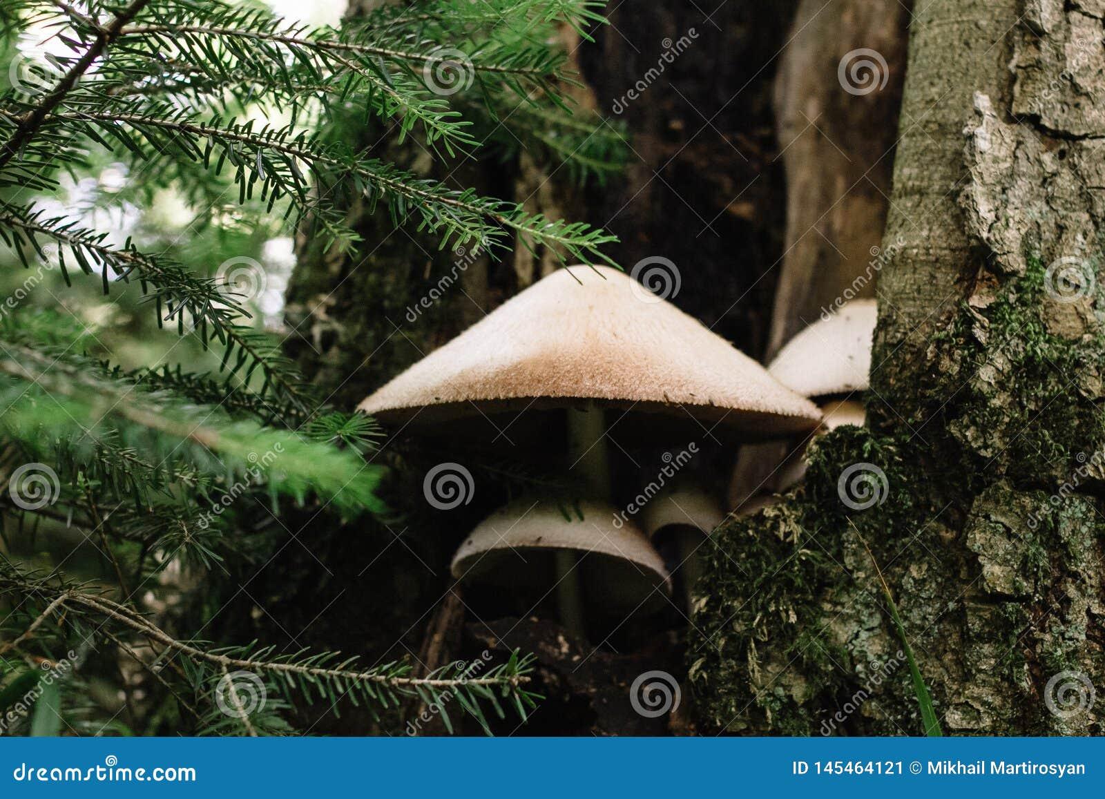 生长在树干关闭的一个哭泣的蘑菇的底视图反对吠声背景