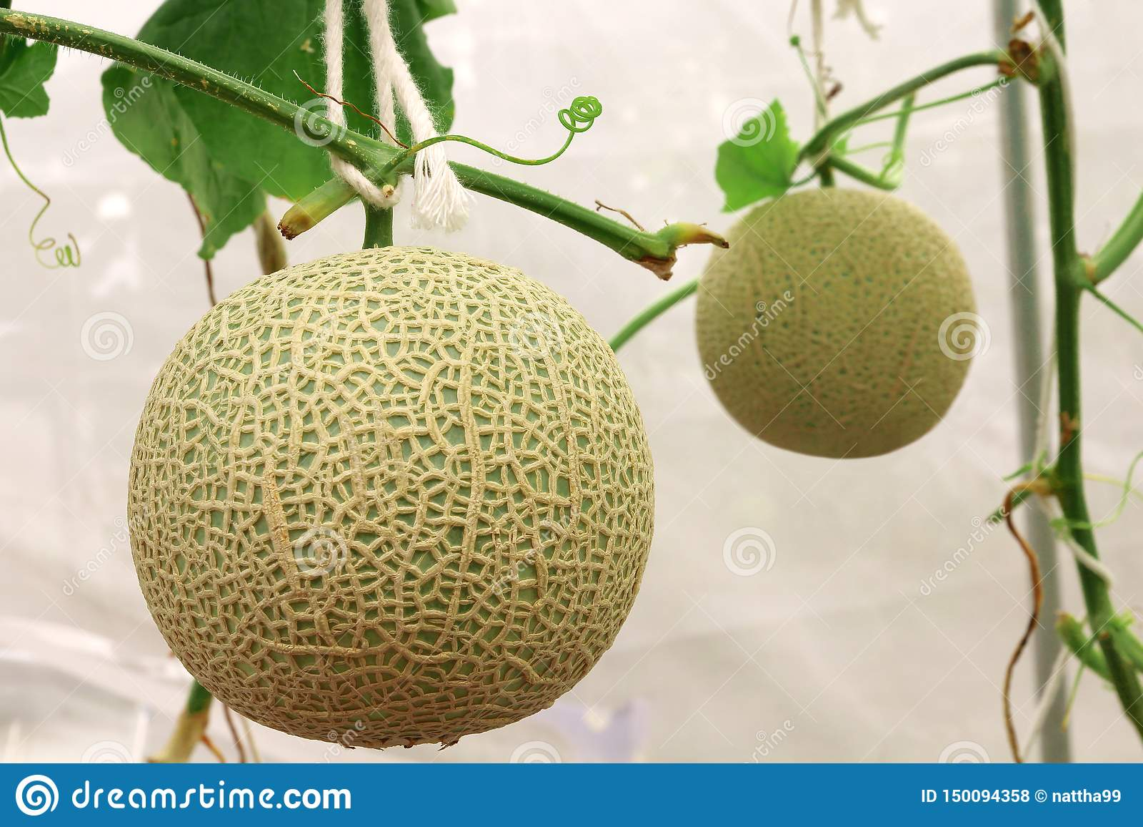 生长在温室农场的新鲜的甜瓜瓜植物