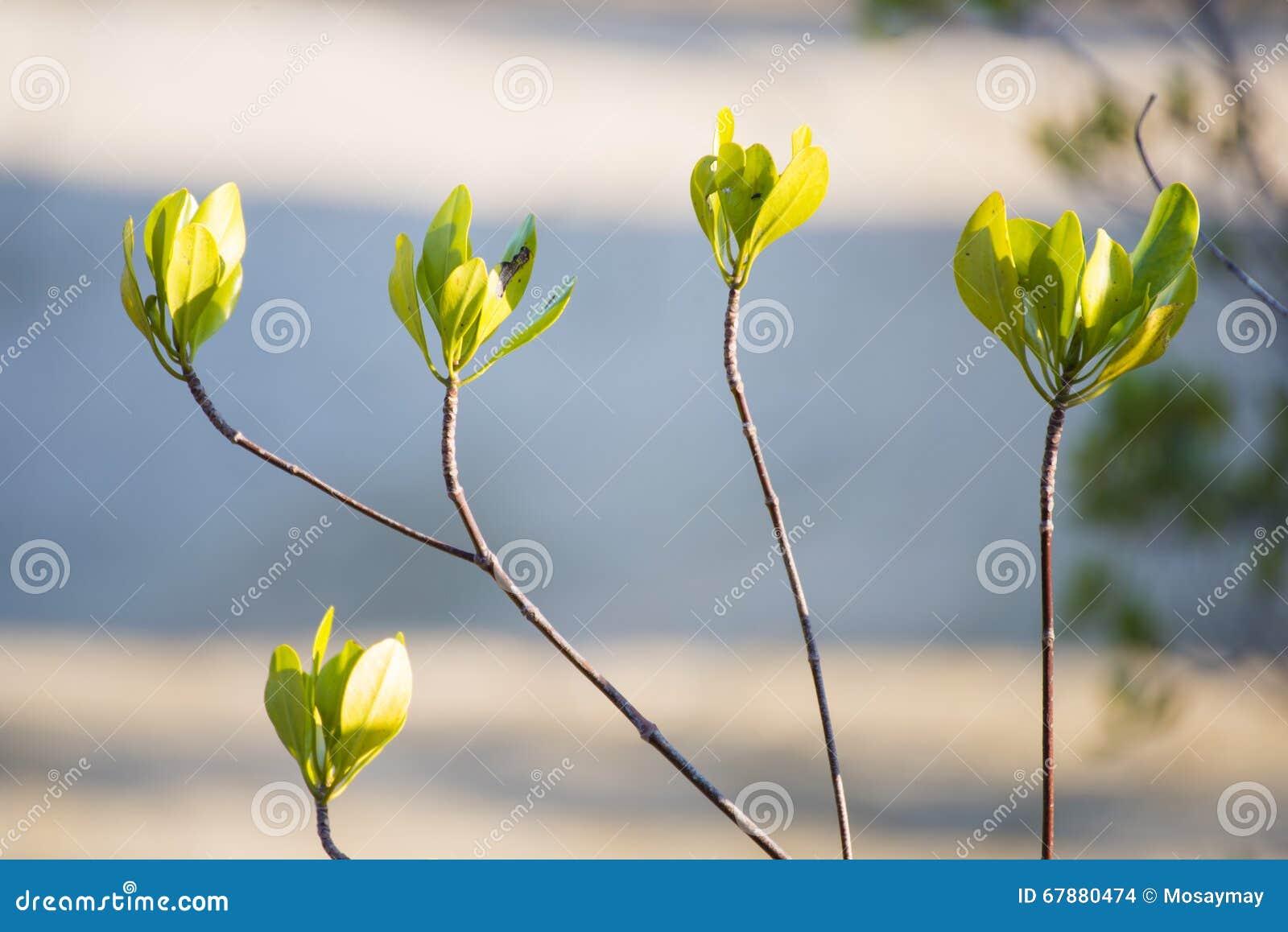 生长在美洲红树的年轻树